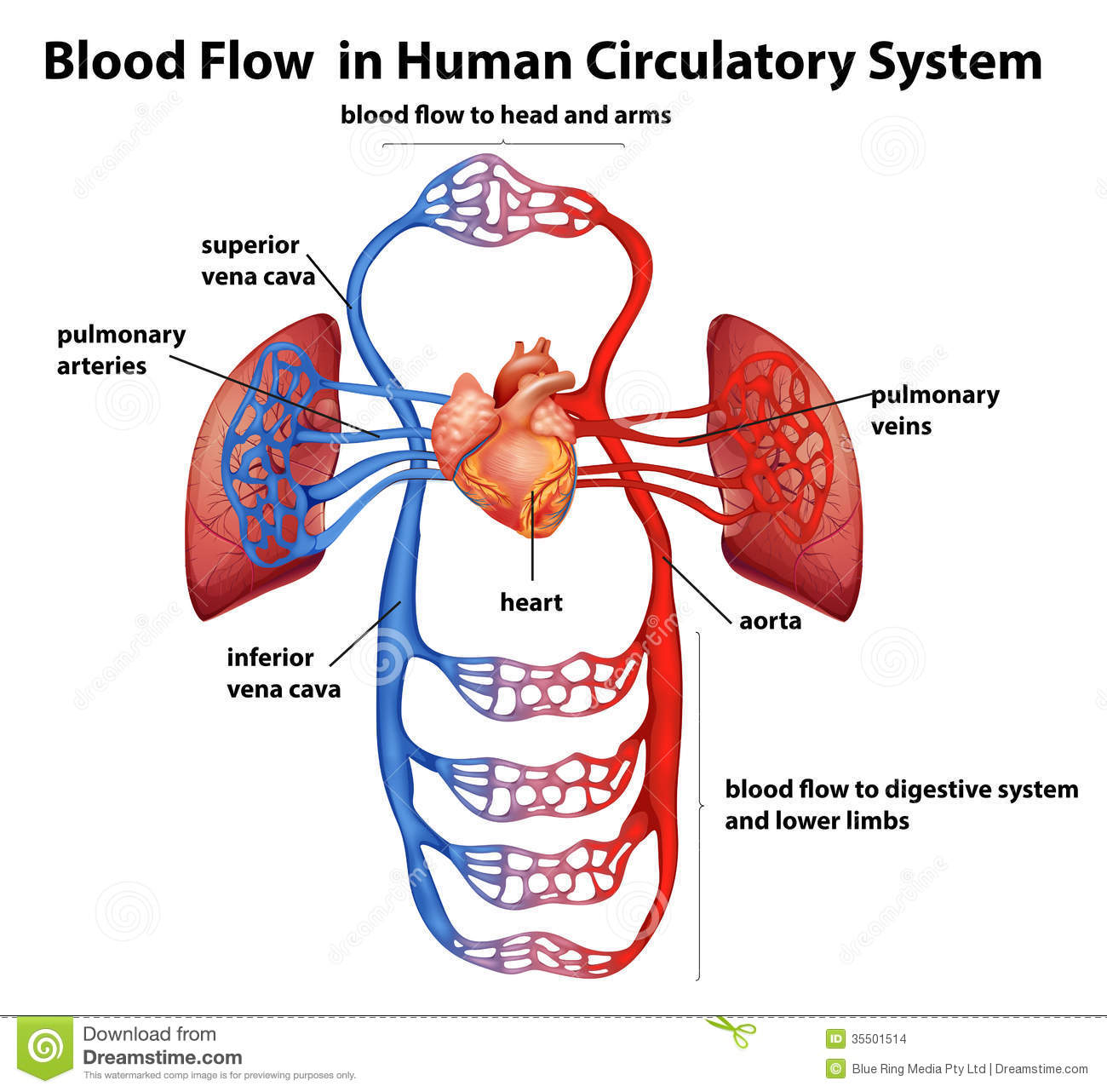 Blood Flow In Human Circulatory System Stock Vector Illustration