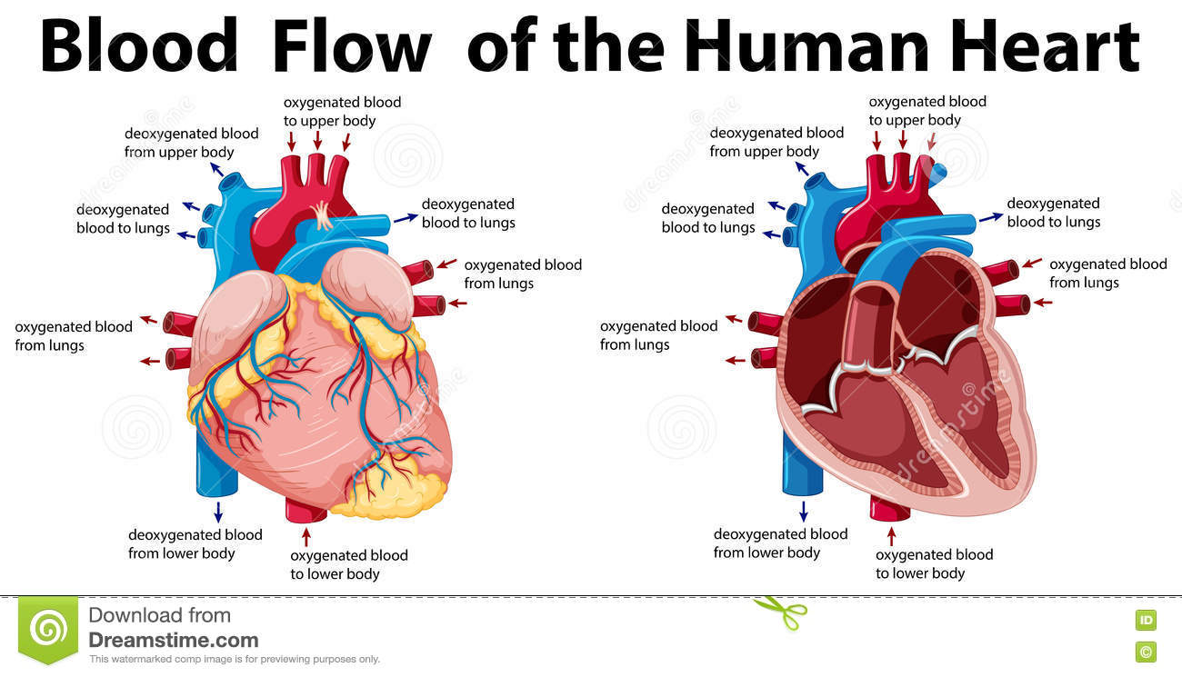 Blood Flow Of The Human Heart Stock Vector Illustration Of Poster