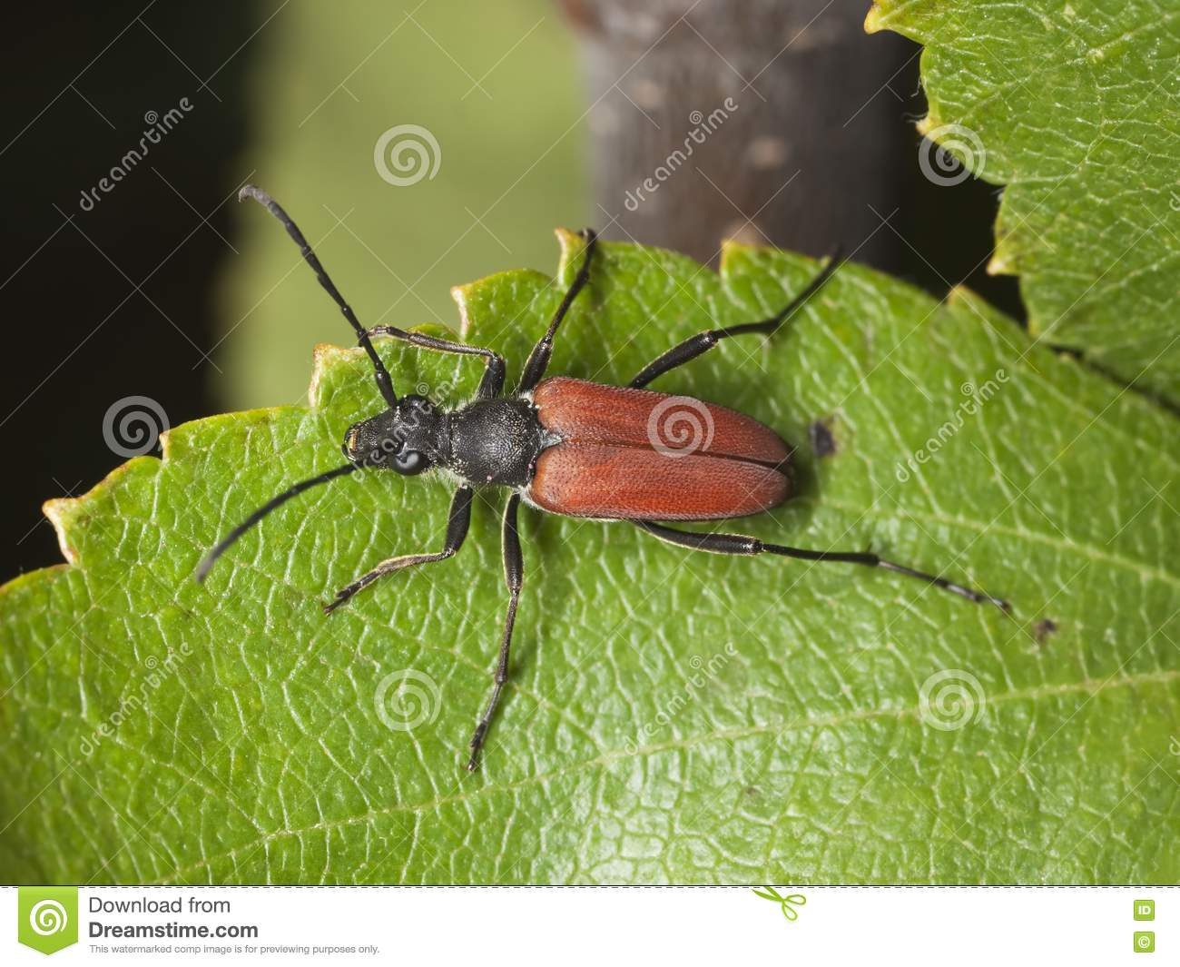 Red horned beetles - photo#17