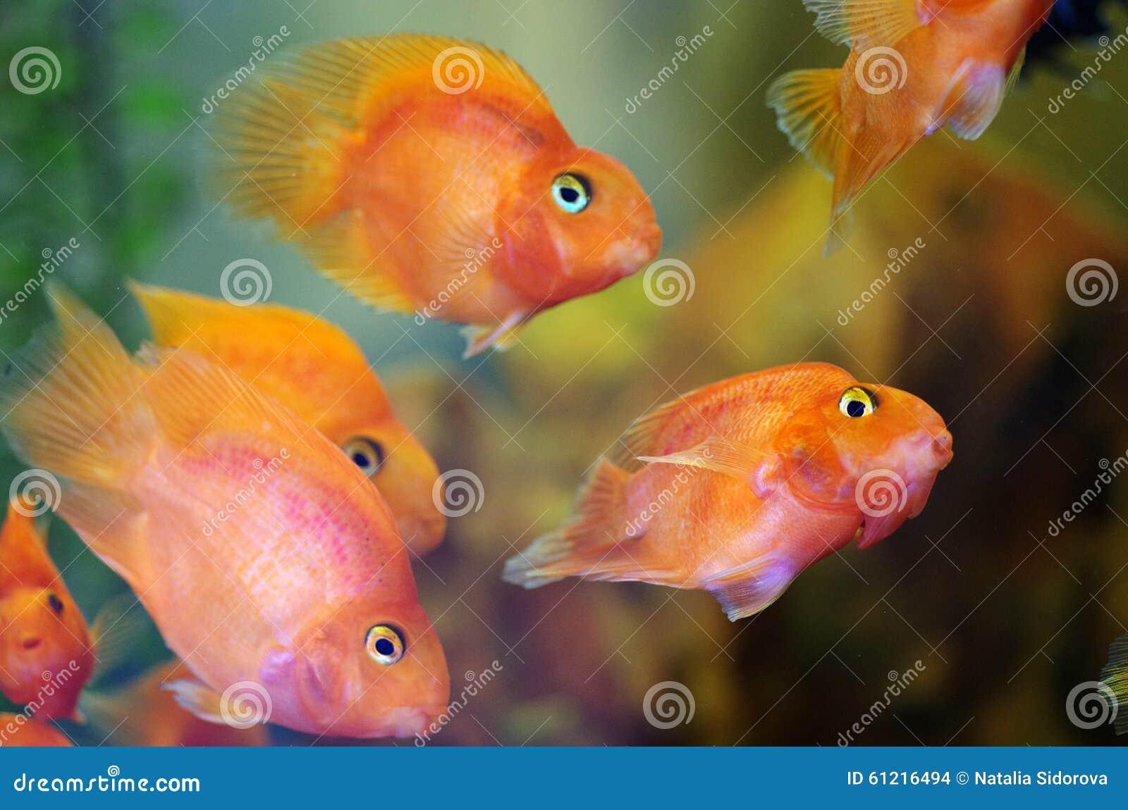 blood red parrot cichlid aquarium fish stock photo image of colors