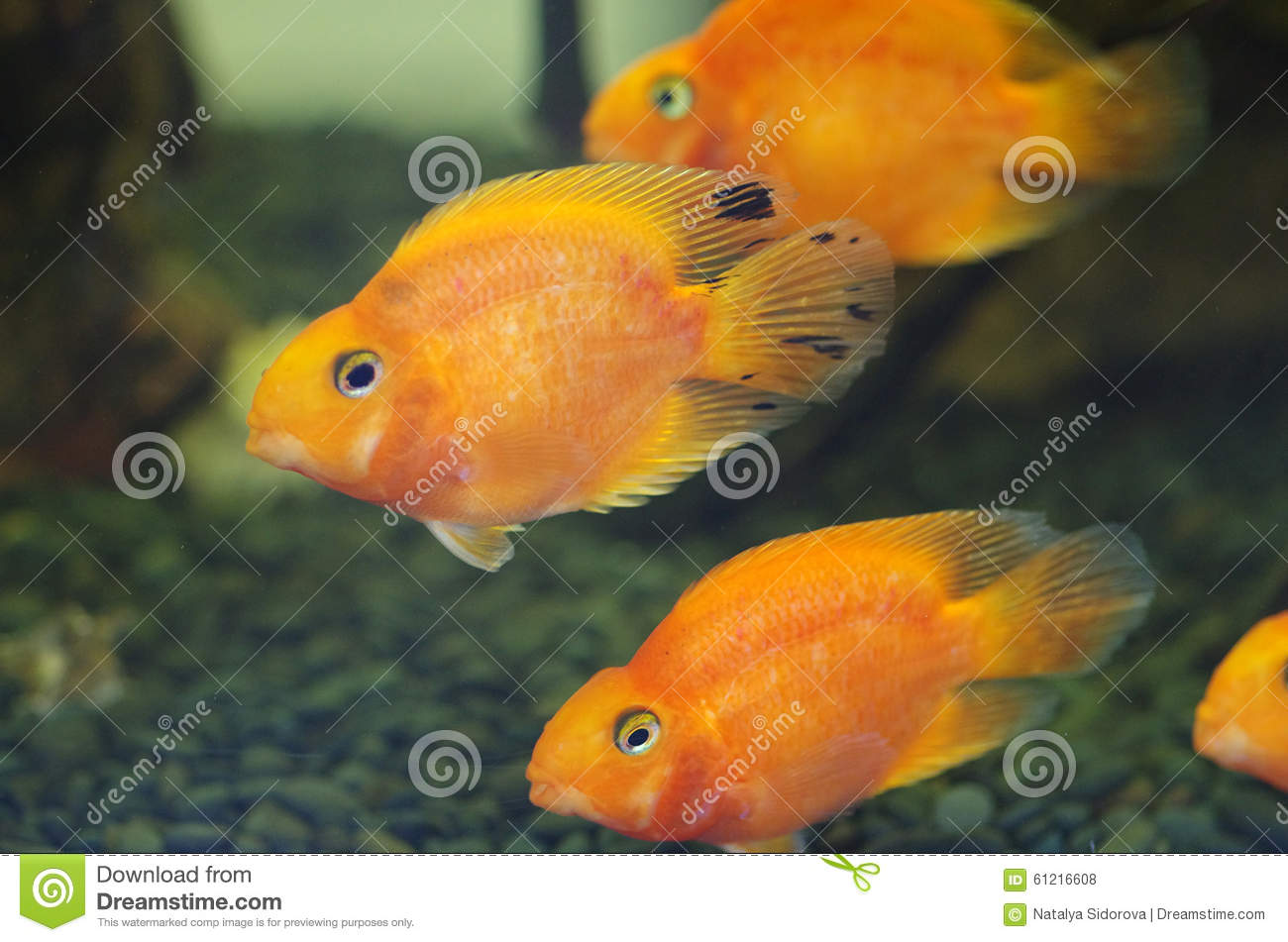 Blood red parrot cichlid aquarium fish stock photo image for Red parrot fish