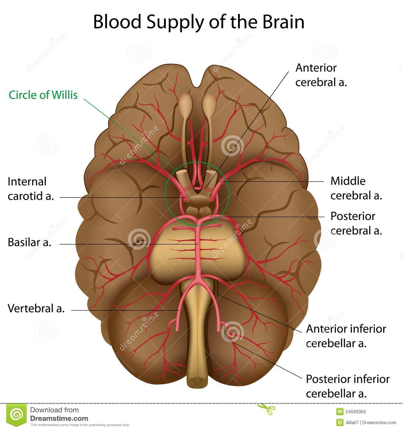 Blood supply of the brain stock vector. Illustration of circulation ...