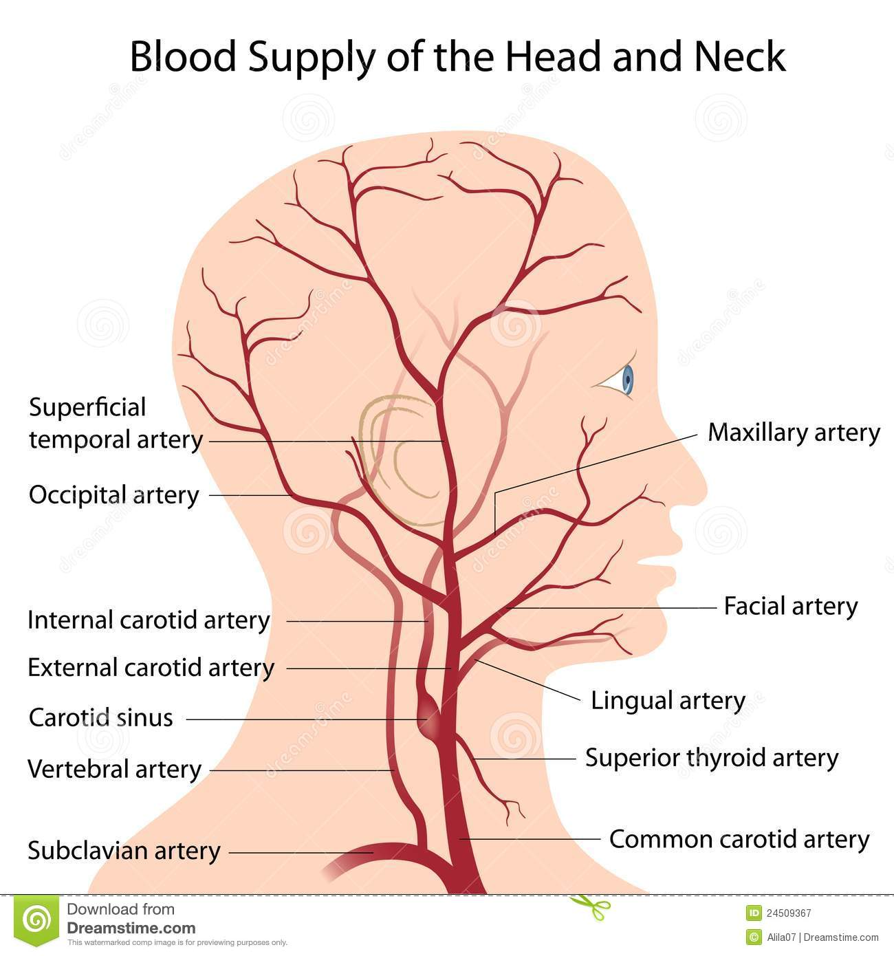 Blood Supply Of The Head And Neck Stock Vector - Illustration of ...