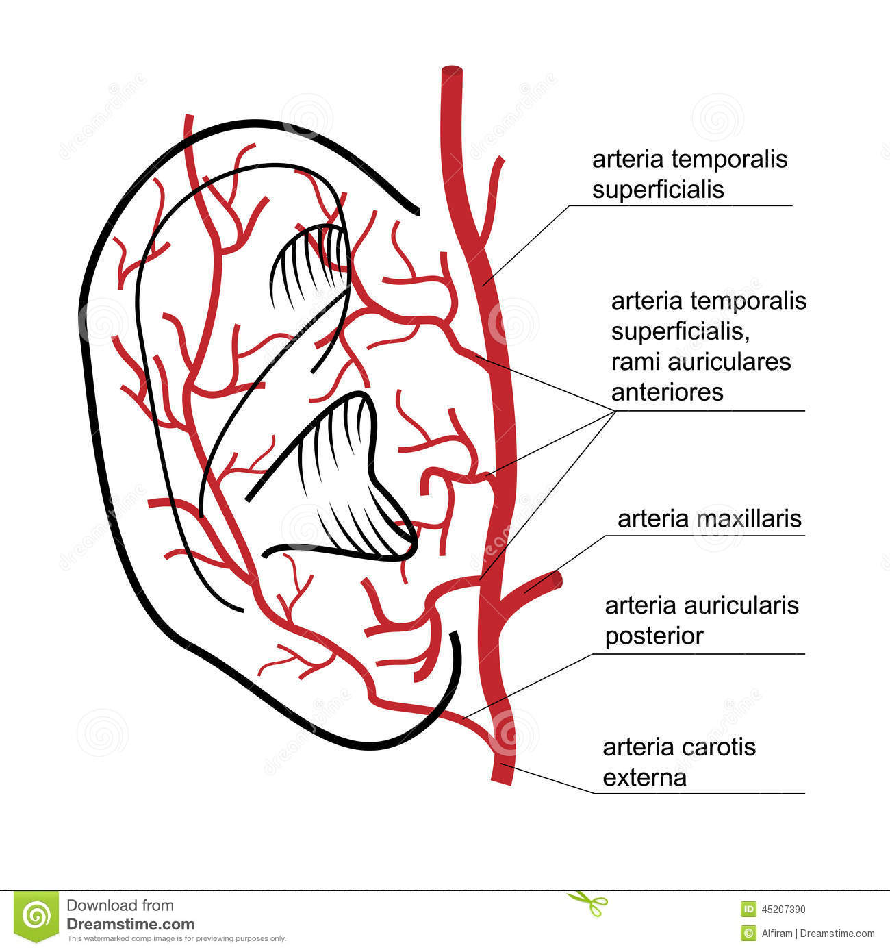 Blood Supply To The Ear Of Man. Stock Vector - Illustration of ...