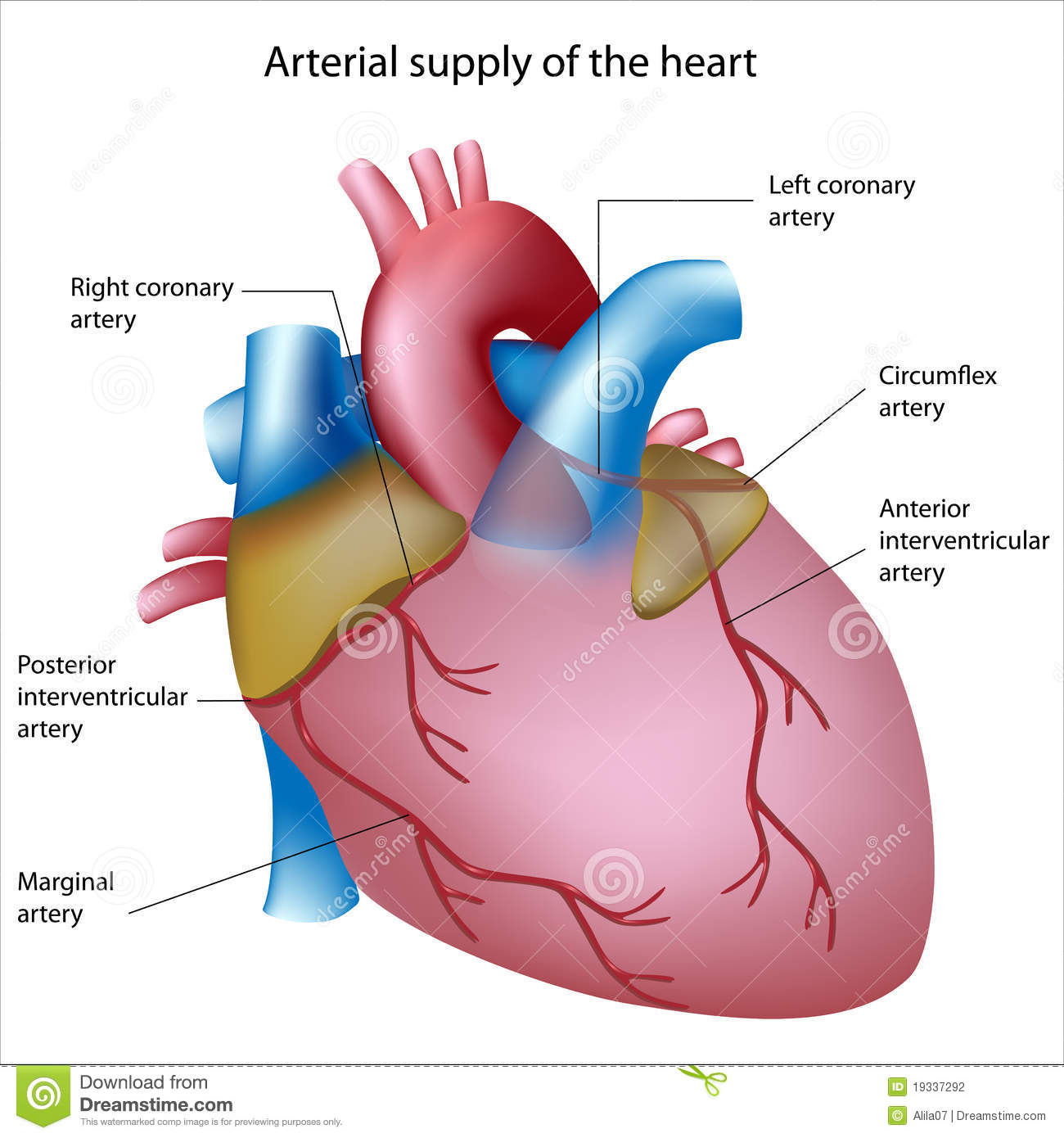 Blood Supply To The Heart Stock Vector Illustration Of Disease