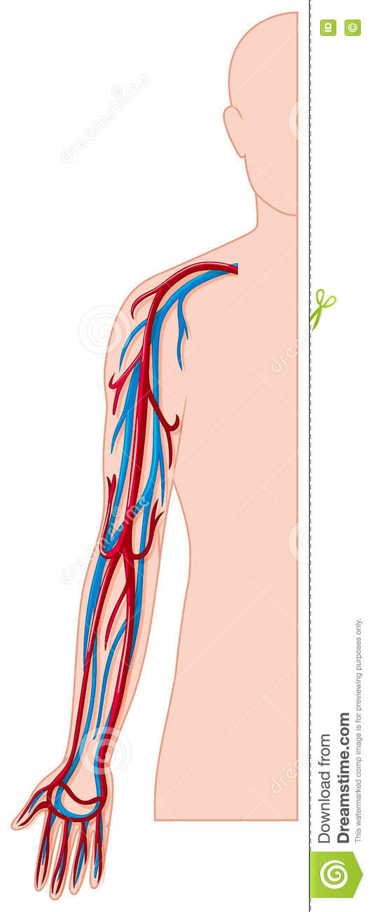 Blood vessels in human arm stock vector. Illustration of biology ...