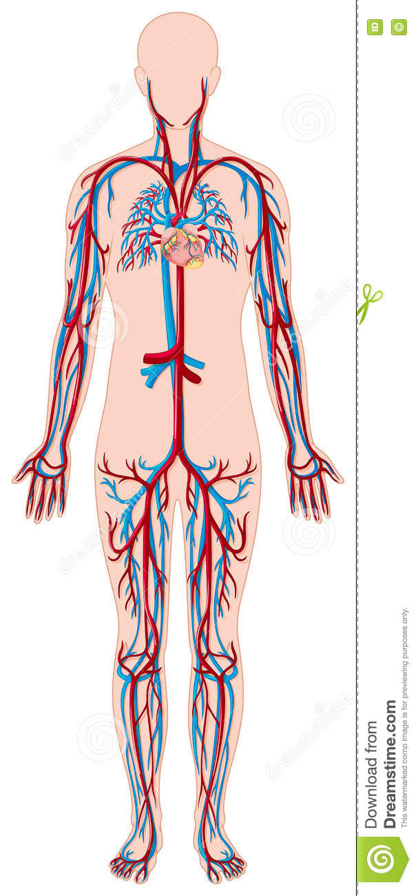 Blood Vessels In Human Body Stock Vector Illustration Of Human