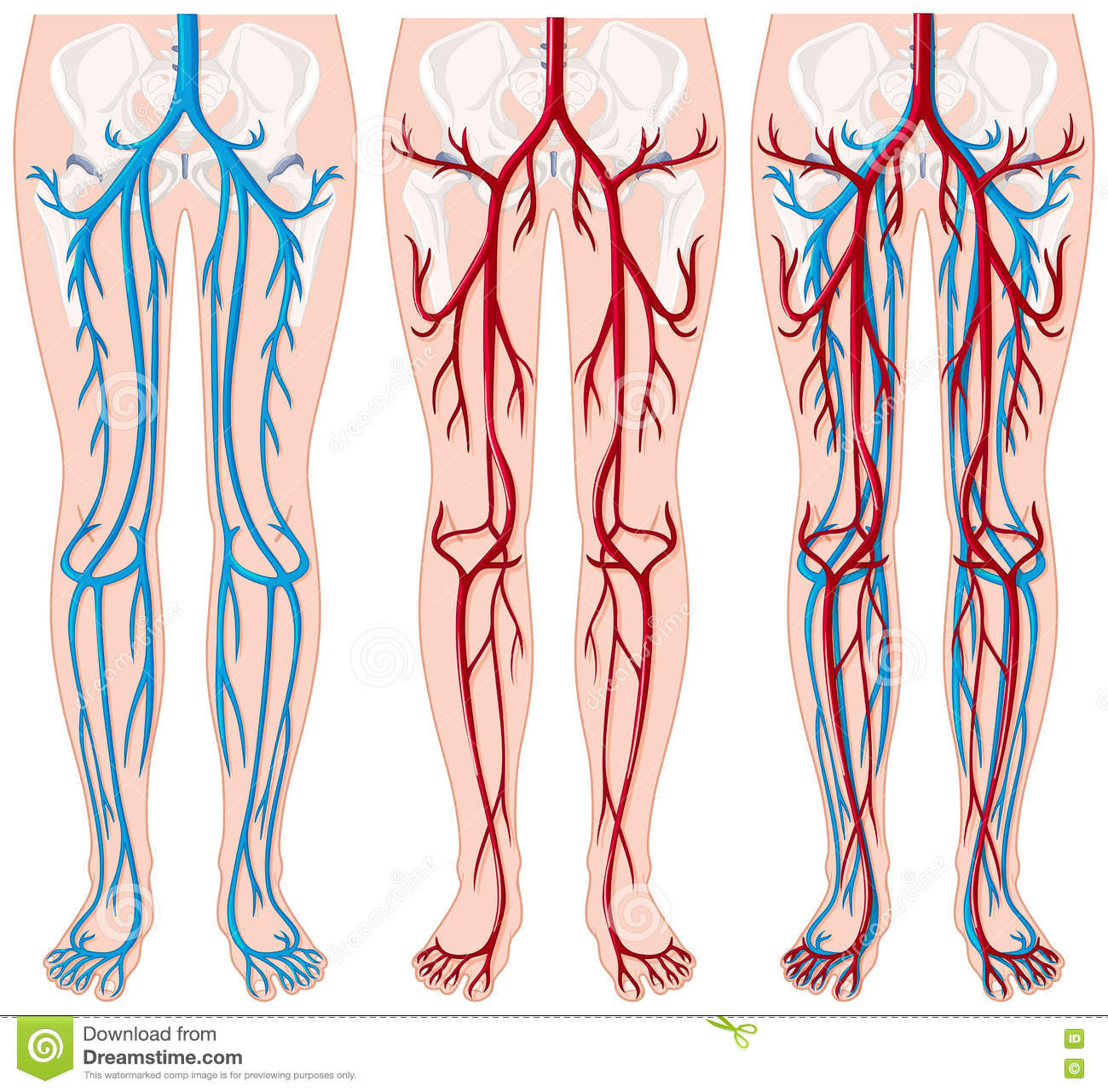 Blood Vessels In Human Legs Stock Vector Illustration Of Health