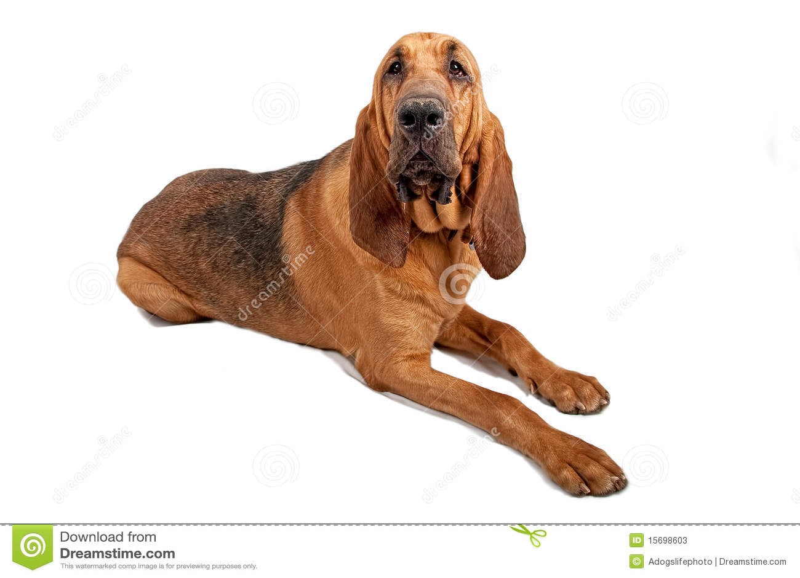 Bloodhound Dog Isolated on White