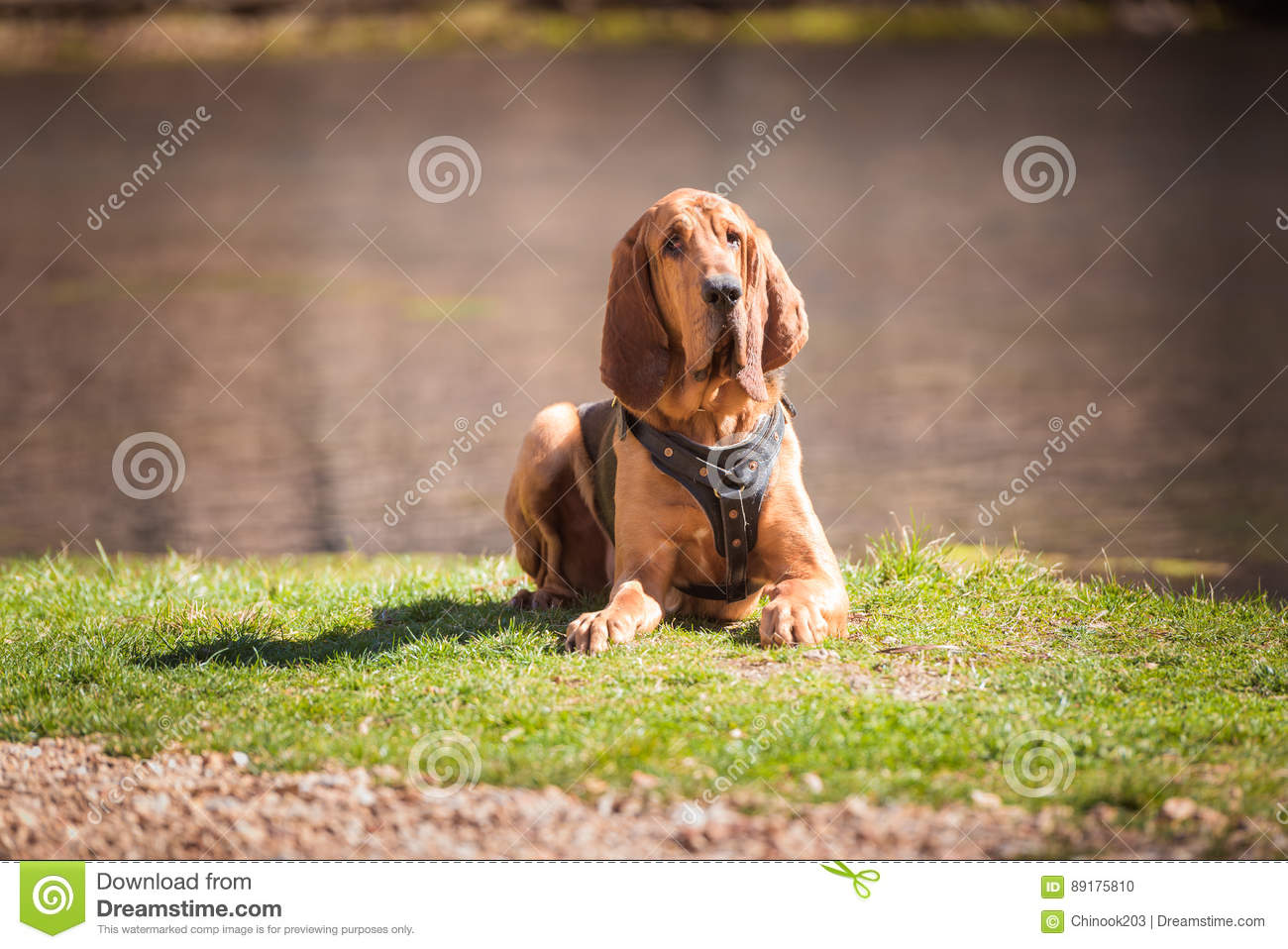 Harness For Bloodhound Wire Center Electronic Circuit Board Stock Photos Image 5268093 Dog Laying Down Wearing A Tracking Photo Rh Dreamstime Com Best