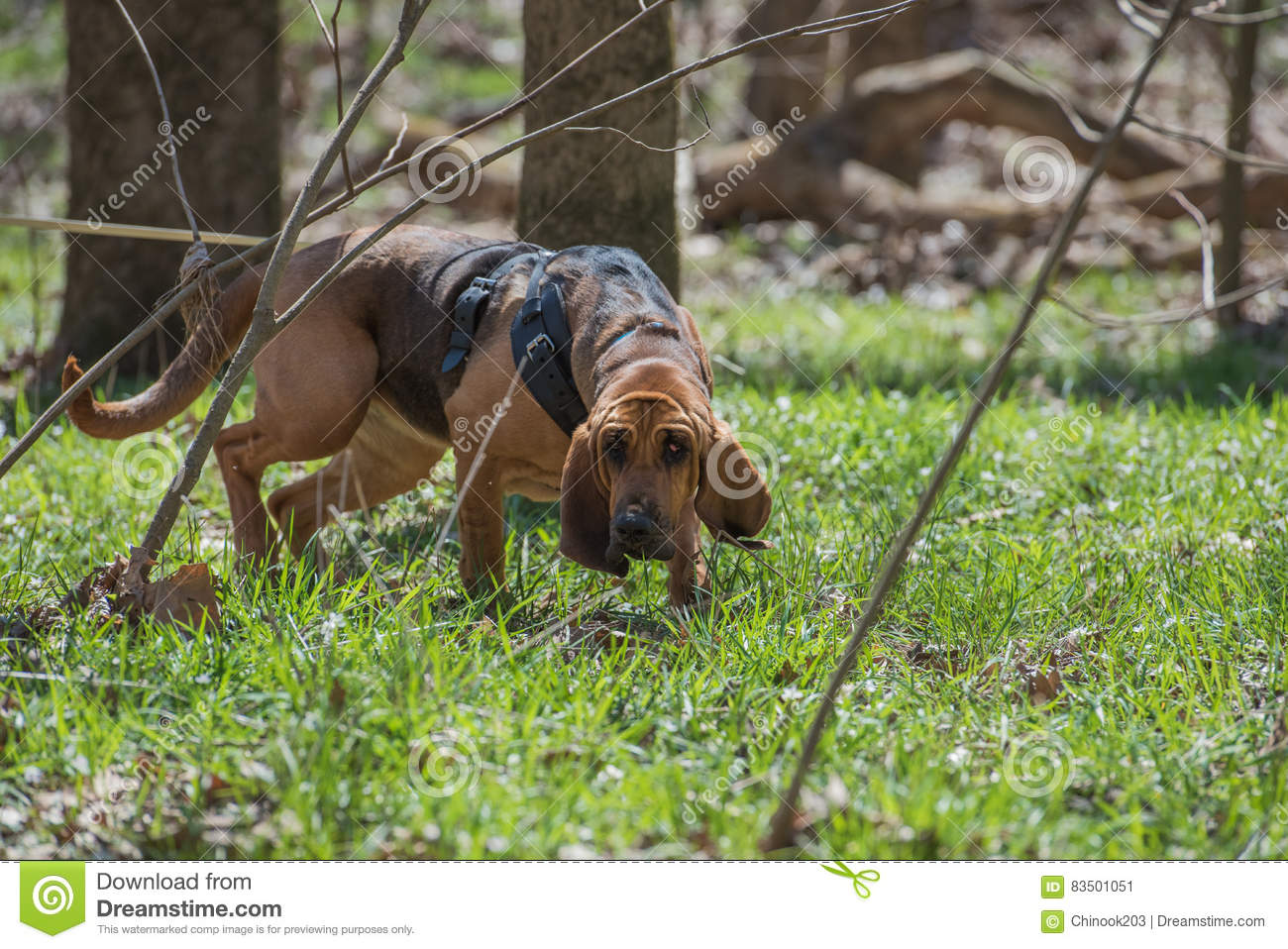 Bloodhound ing A Harness And Tracking Stock Image - Image of ...