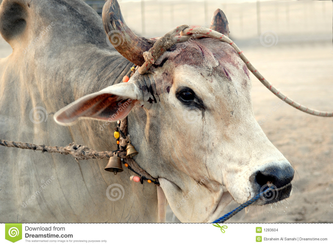 Bloody Bull after a butheading fight for bulls in Fujairah - United ...