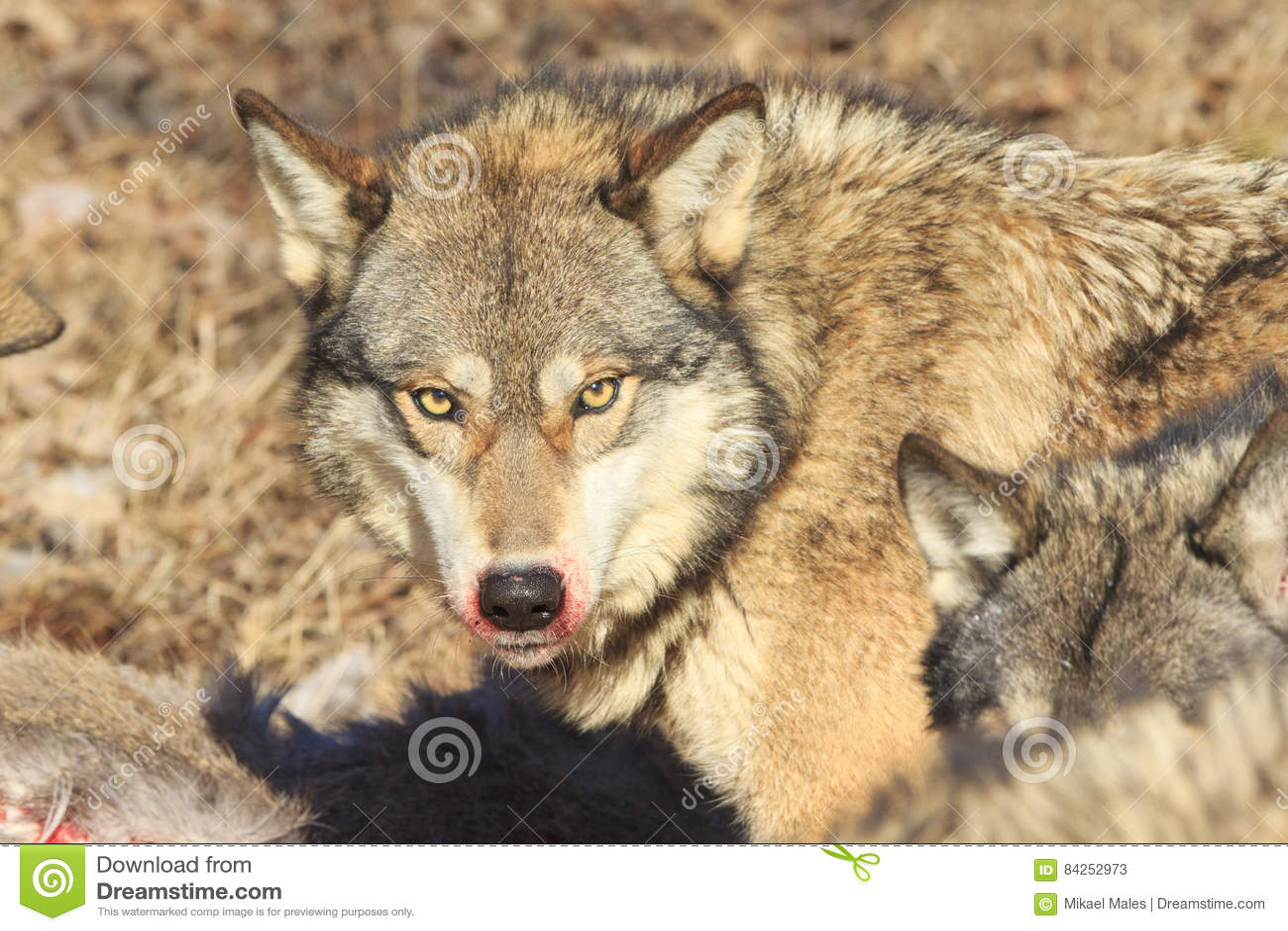Download Bloody mane of wolf stock image. Image of feeding, predator - 84252973