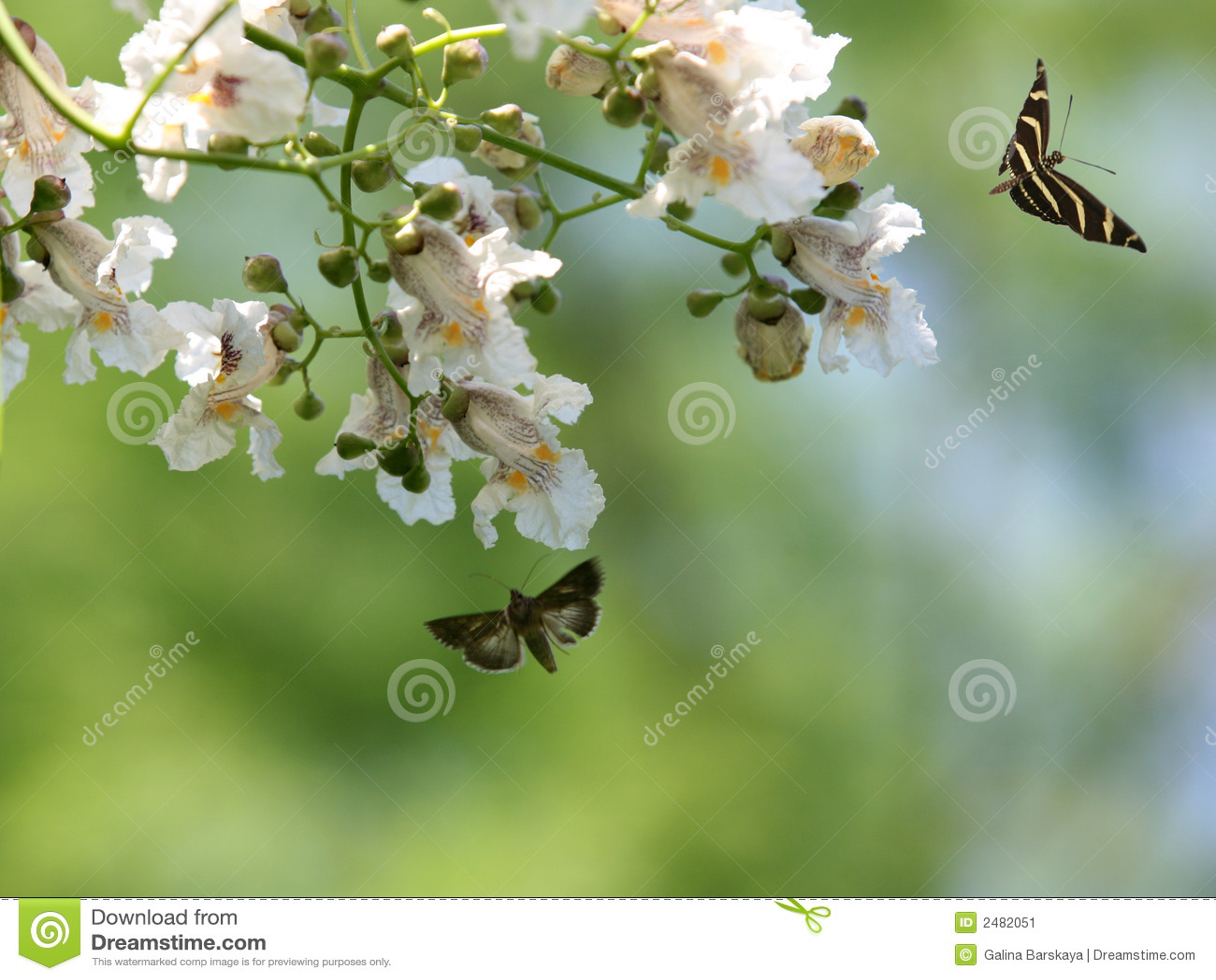 Bloom drzewo motyla