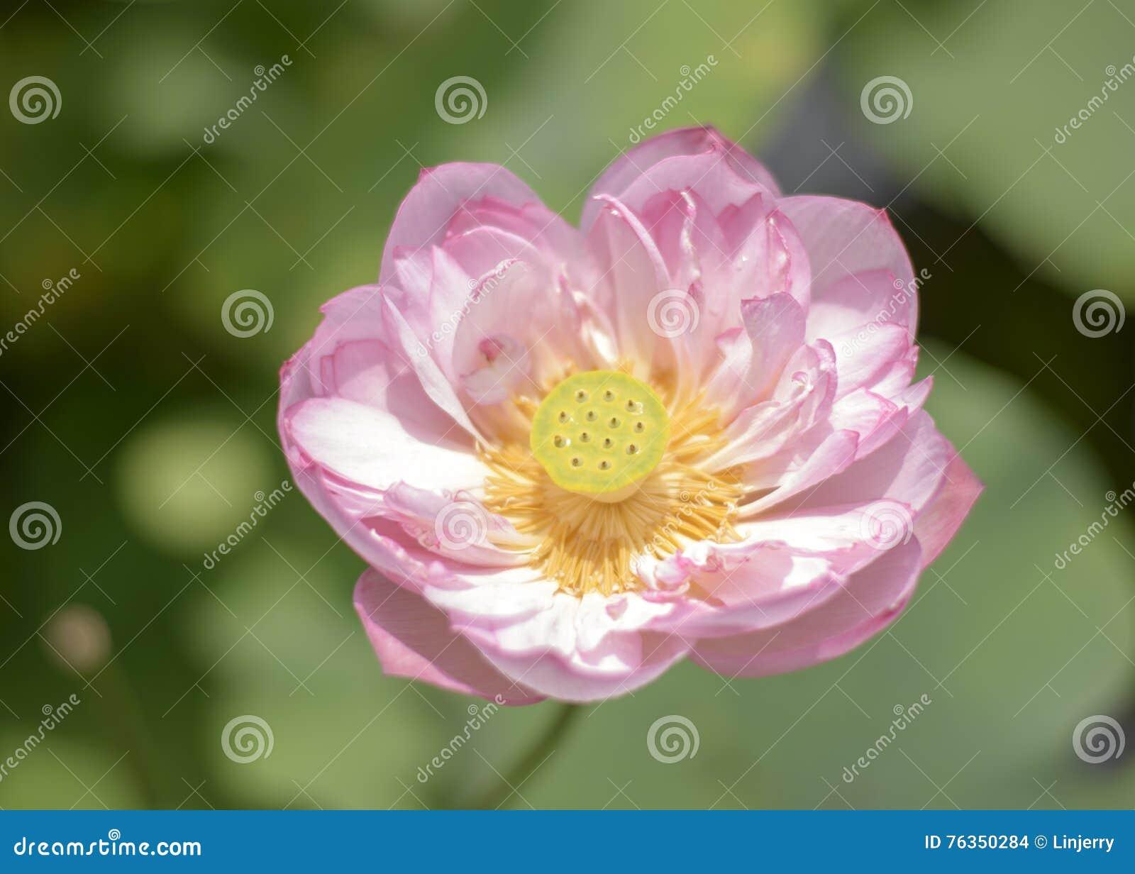 Bloom lotus flower wallpaper stock photo image of blooming bloom lotus flower wallpaper izmirmasajfo
