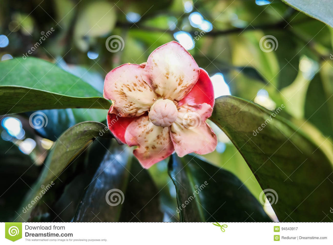Bloom mangosteen flower stock image  Image of natural - 94543917