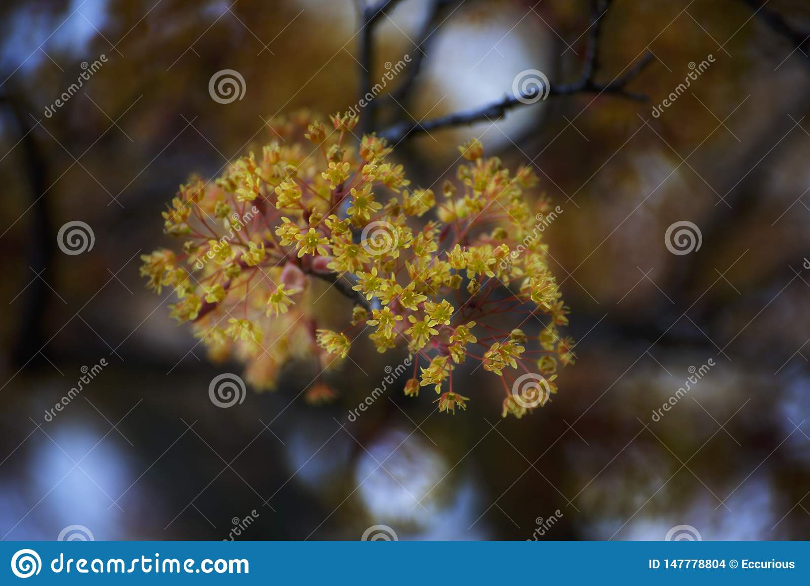 Bloom of a maple tree