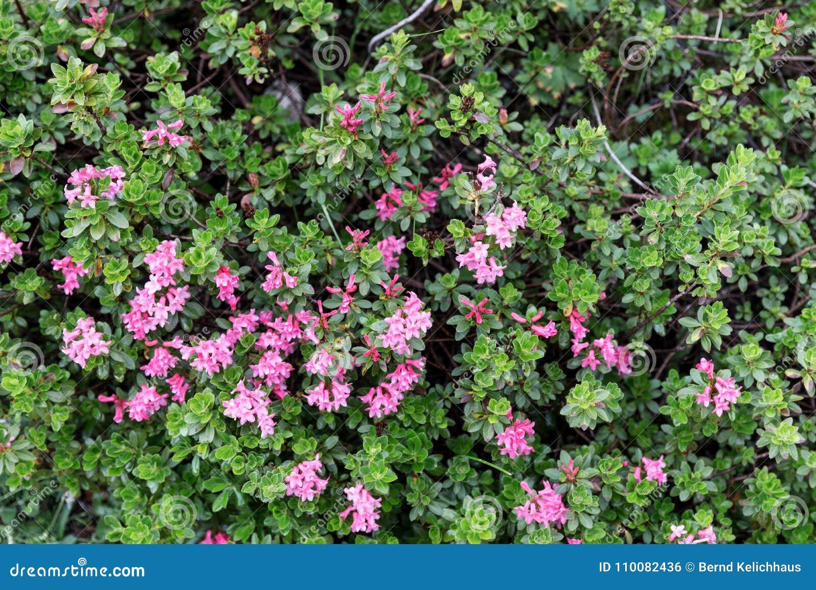 Bloom of natural alpine rose