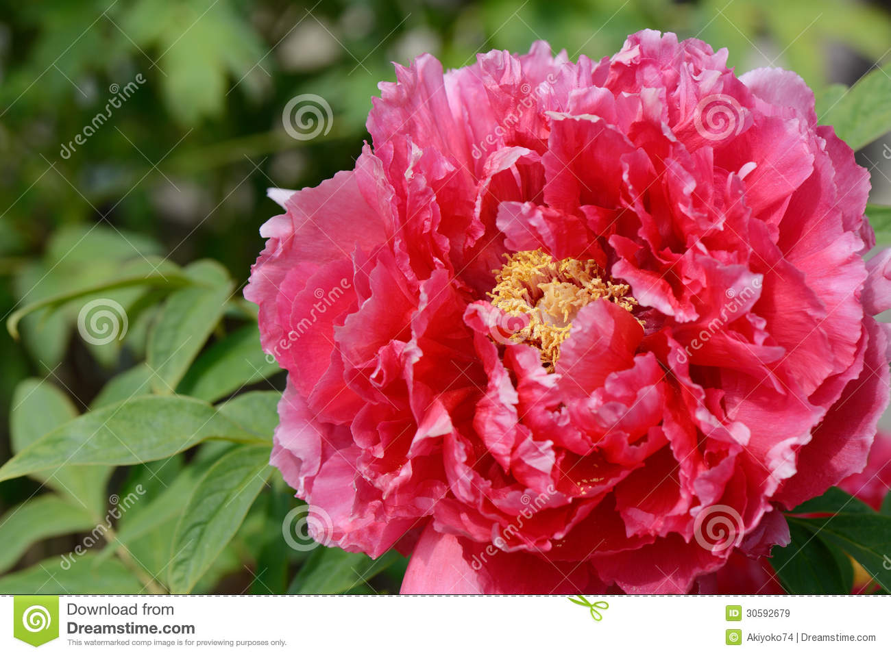 Bloom of paeonia