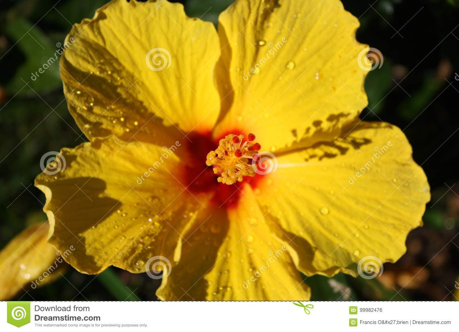 Yellow Hibiscus Flower 6 Stock Photo Image Of Them White 99982476