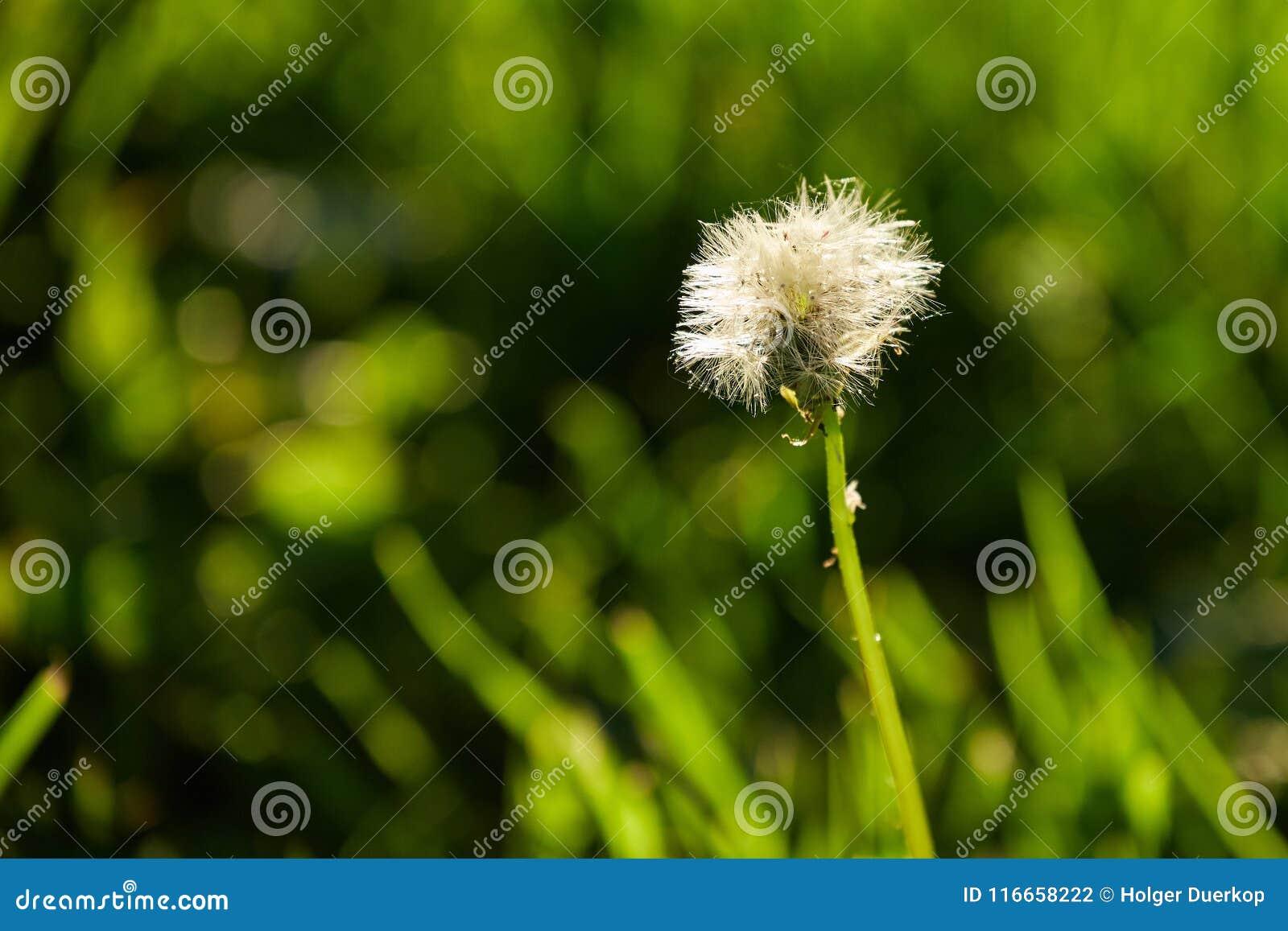 Dandelion in spring light