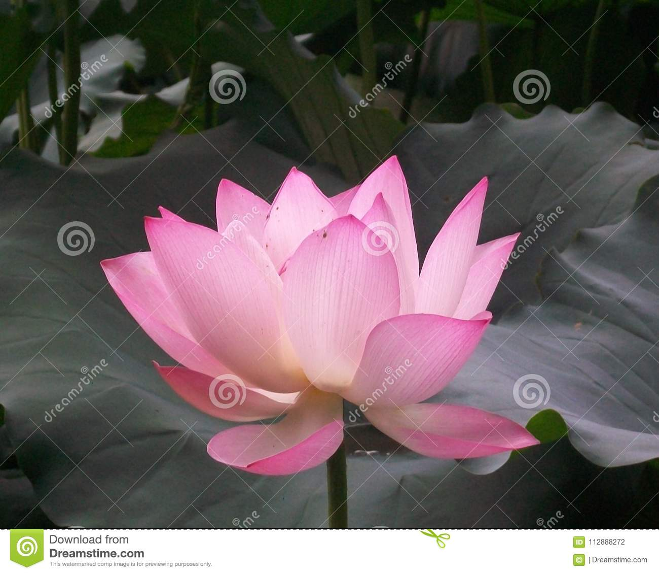 Pink Chinese Lotus Flower Bloomed Stock Photo Image Of View