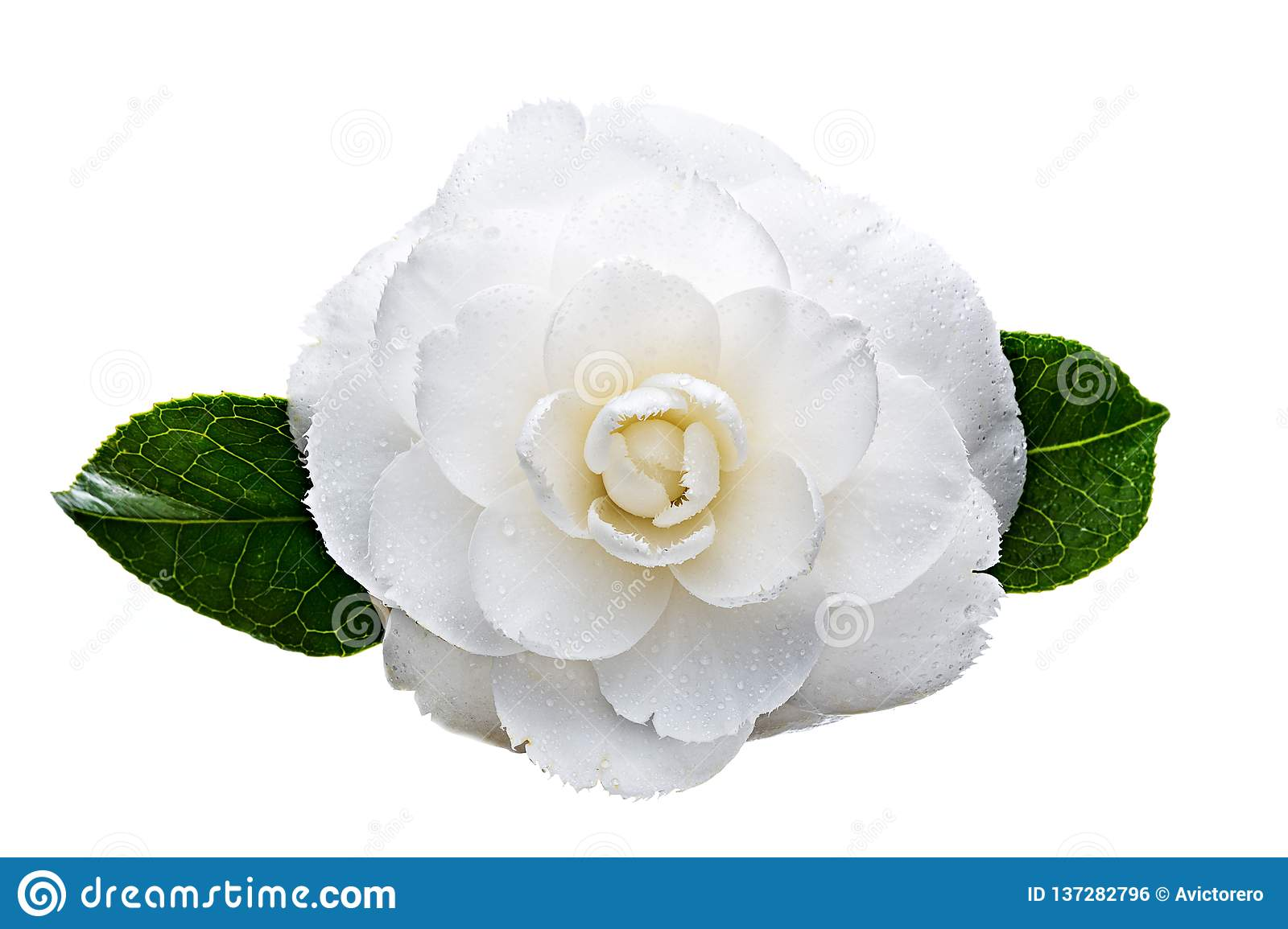 White camellia flower with dew drops isolated on white background
