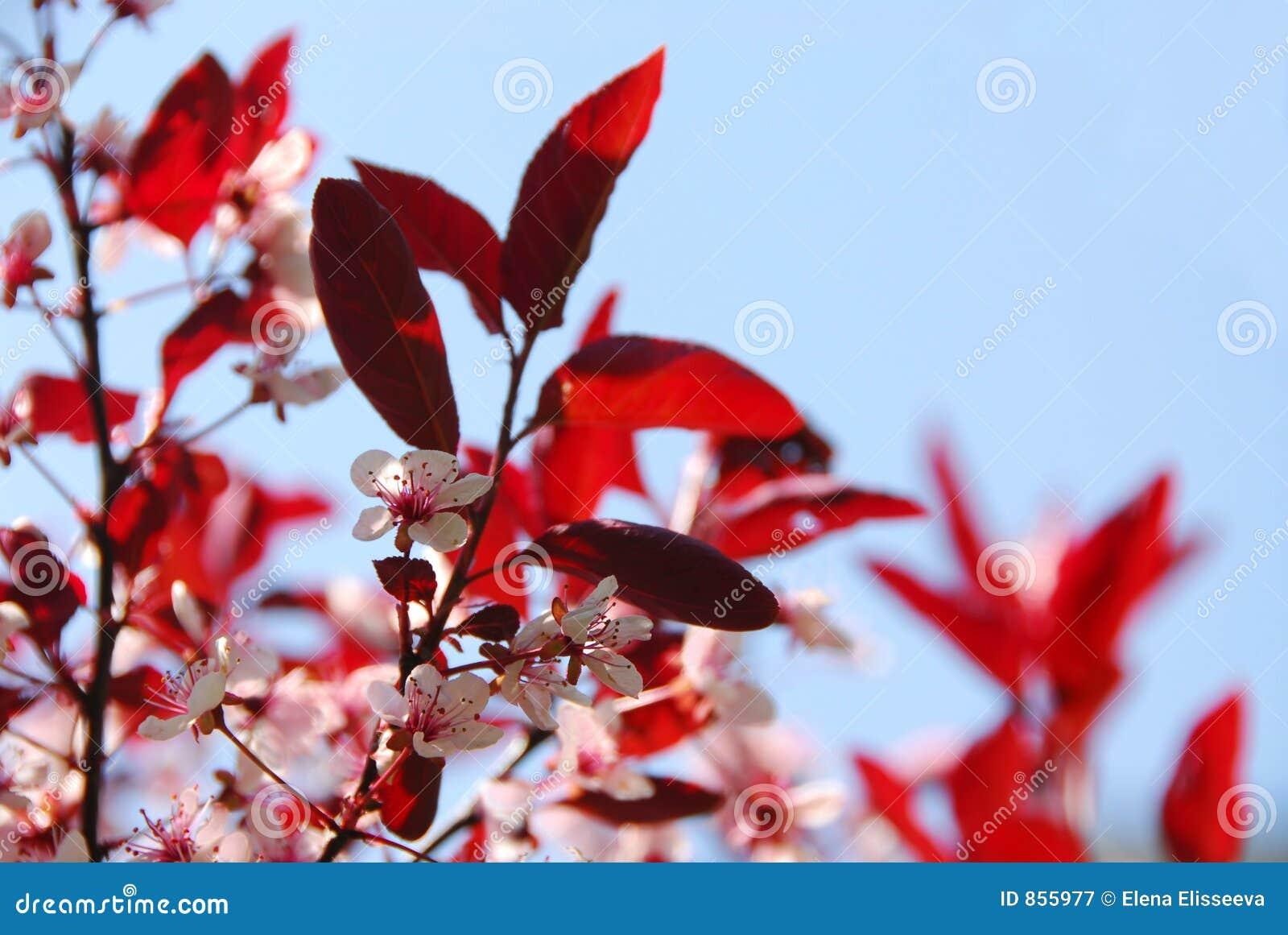 Bloomig κεράσι