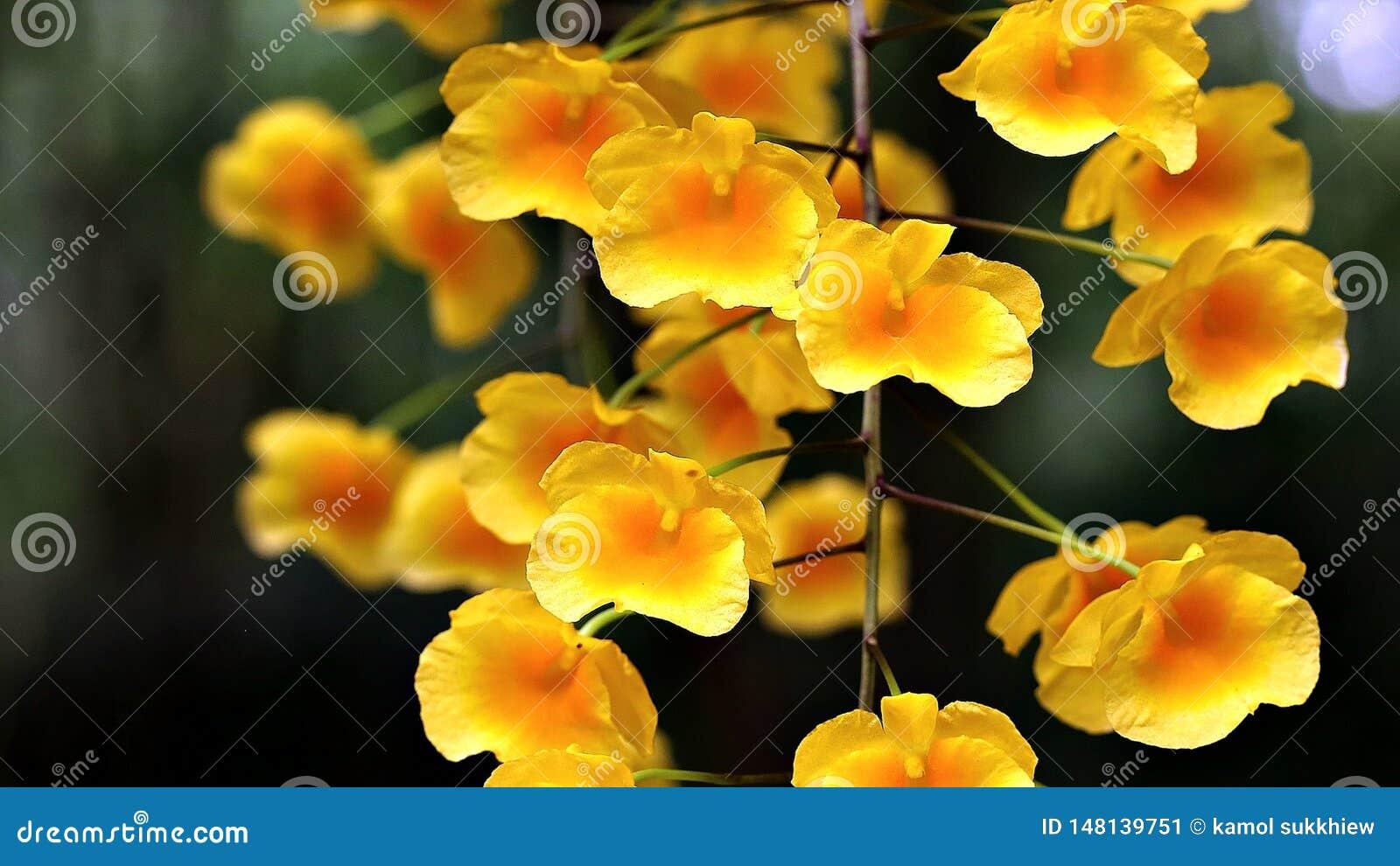 Bloomimg amarelo tropical da orquídea no verão
