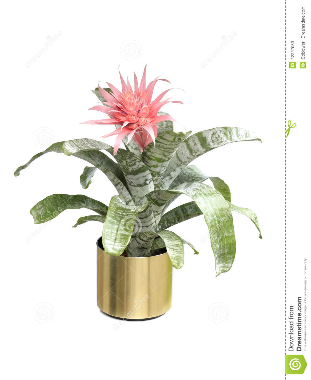 Blooming aechmea fasciata bromeliad isolated on white for Aechmea fasciata
