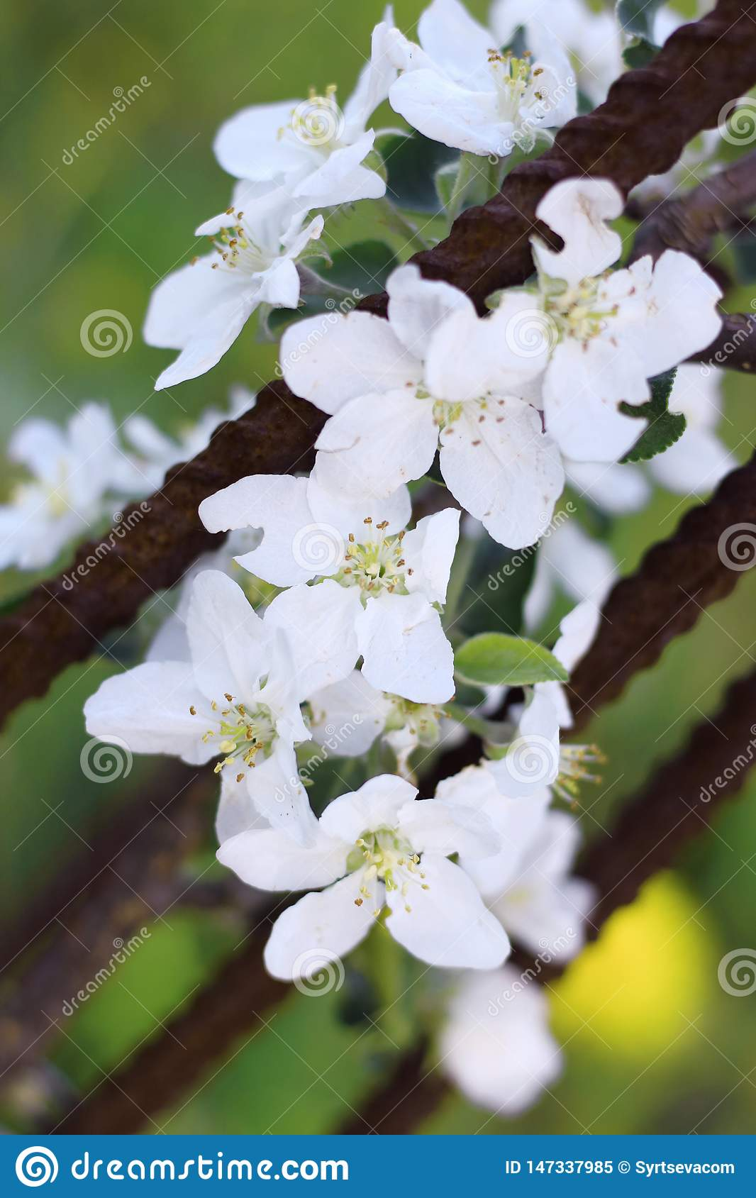 Blooming Apple flowers on a branch close-up