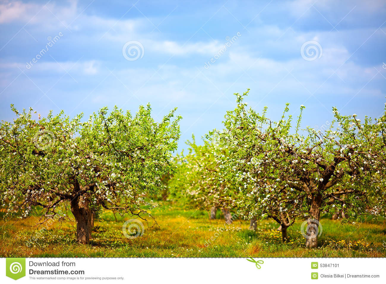 Blooming apple garden spring countryside stock photo image 53847101 - Countryside dream gardens ...