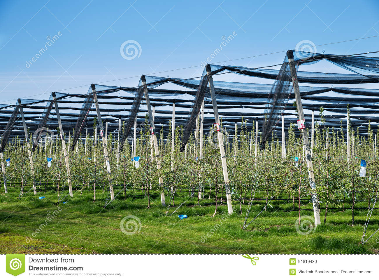 Blooming Apple Orchard In Agricultural Plantation, In Summer Sun