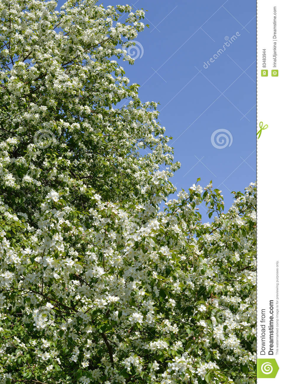 Blooming Apple Tree Against The Blue Sky Stock Photo Image Of