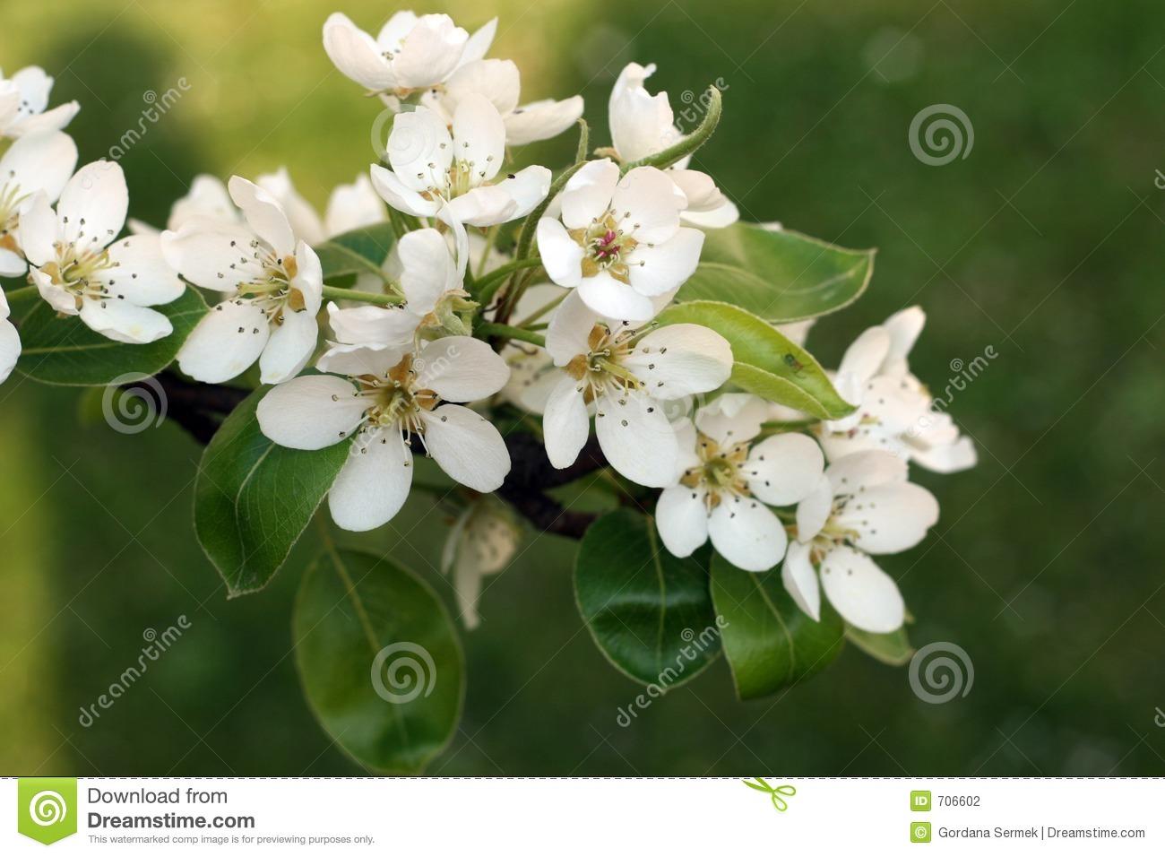 Blooming apple tree branch with green background