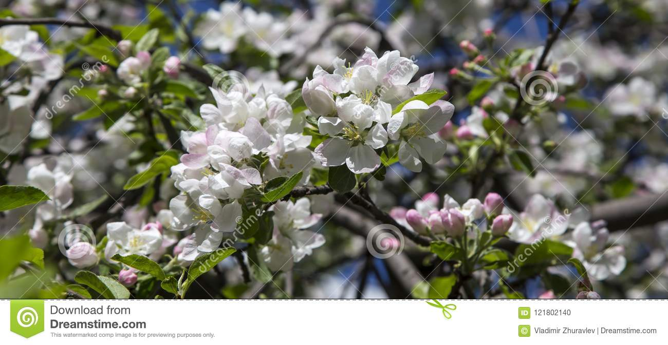 Blooming apple tree branch with large white flowers stock photo download blooming apple tree branch with large white flowers stock photo image of branch mightylinksfo