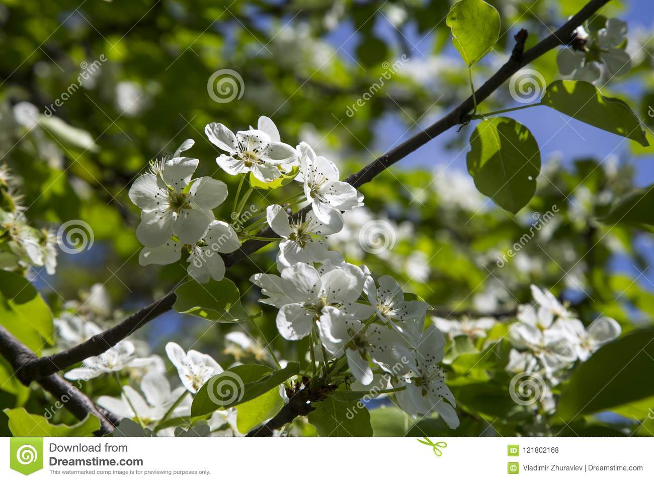 Blooming apple tree branch with large white flowers stock photo blooming apple tree branch with large white flowers mightylinksfo