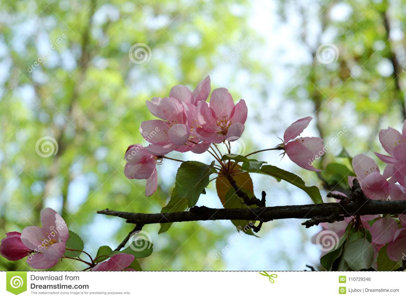 Blooming Apple Tree With Delicate Pink Flowers On Blurred Background