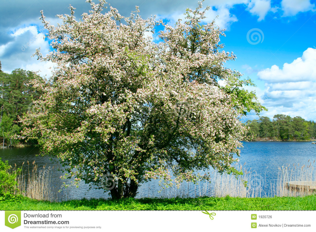 A blooming apple tree at lakeside