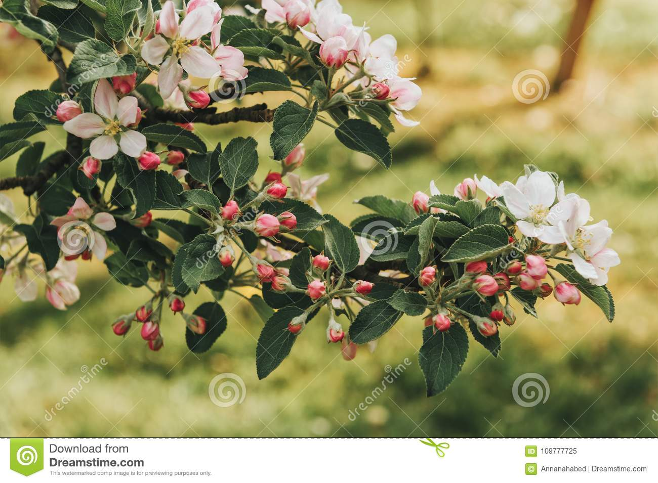 Blooming Apple Tree With Large White Flowers Stock Image Image Of