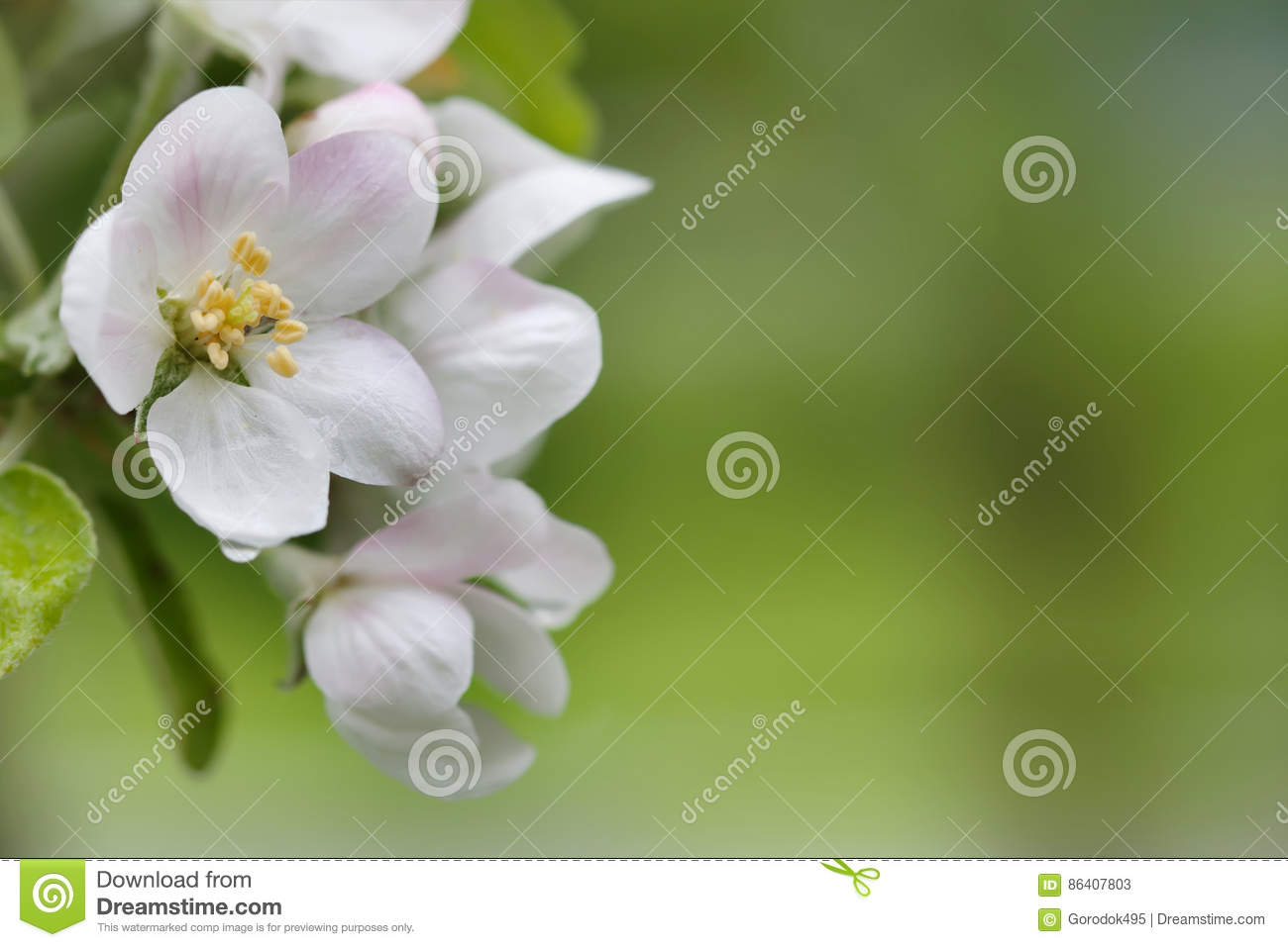 Blooming apple tree. Macro view white flowers. Spring nature landscape. Soft background