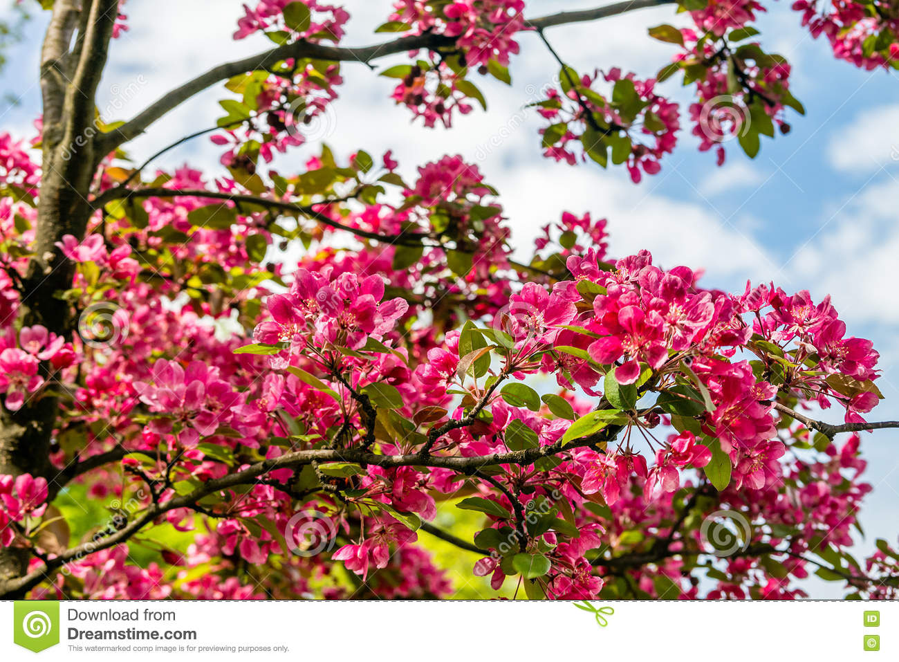 Blooming Apple Tree Malus Royal Beauty Stock Image Image Of