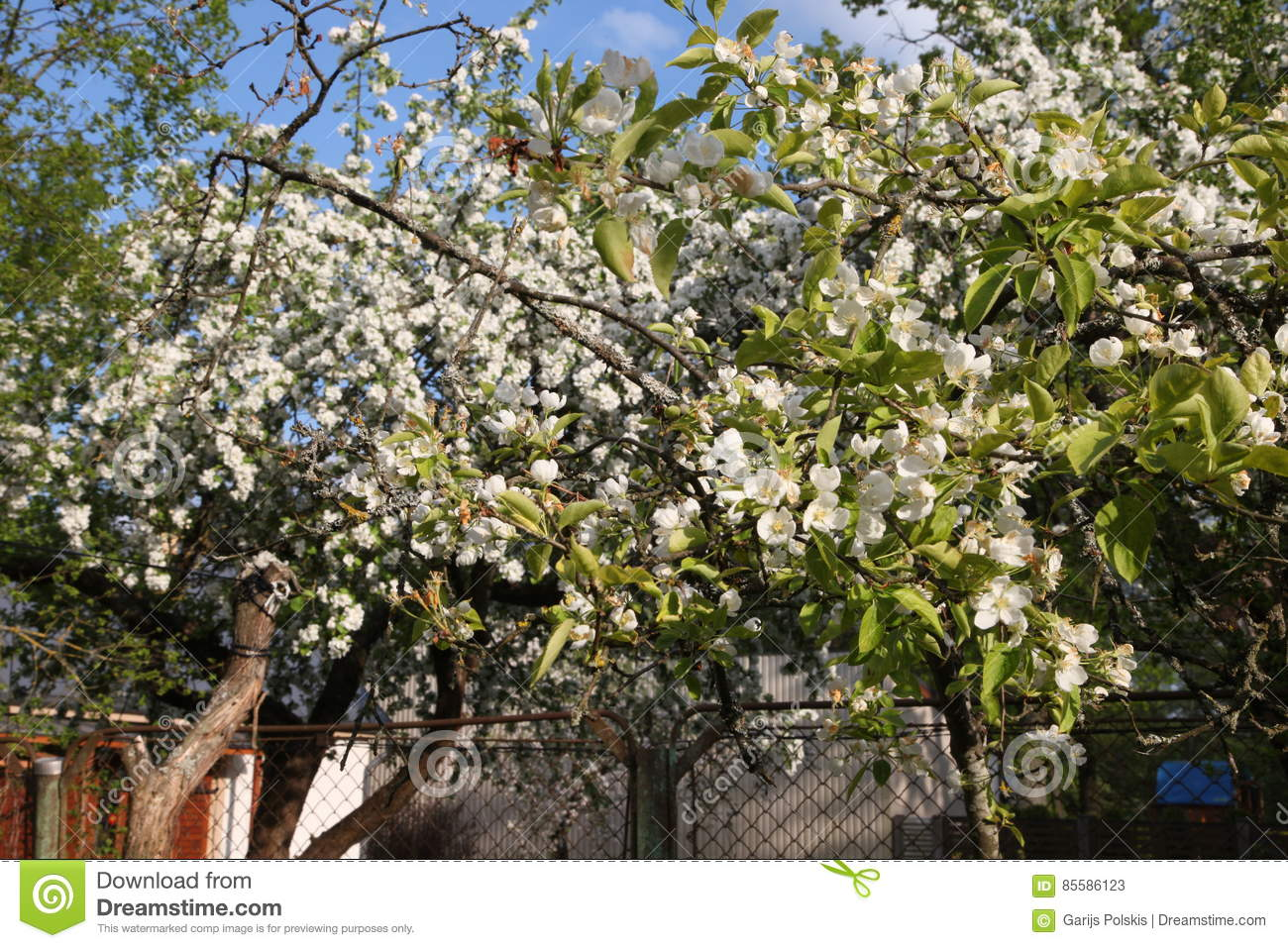 Blooming Apple Tree In May White Flowers Stock Image Image Of
