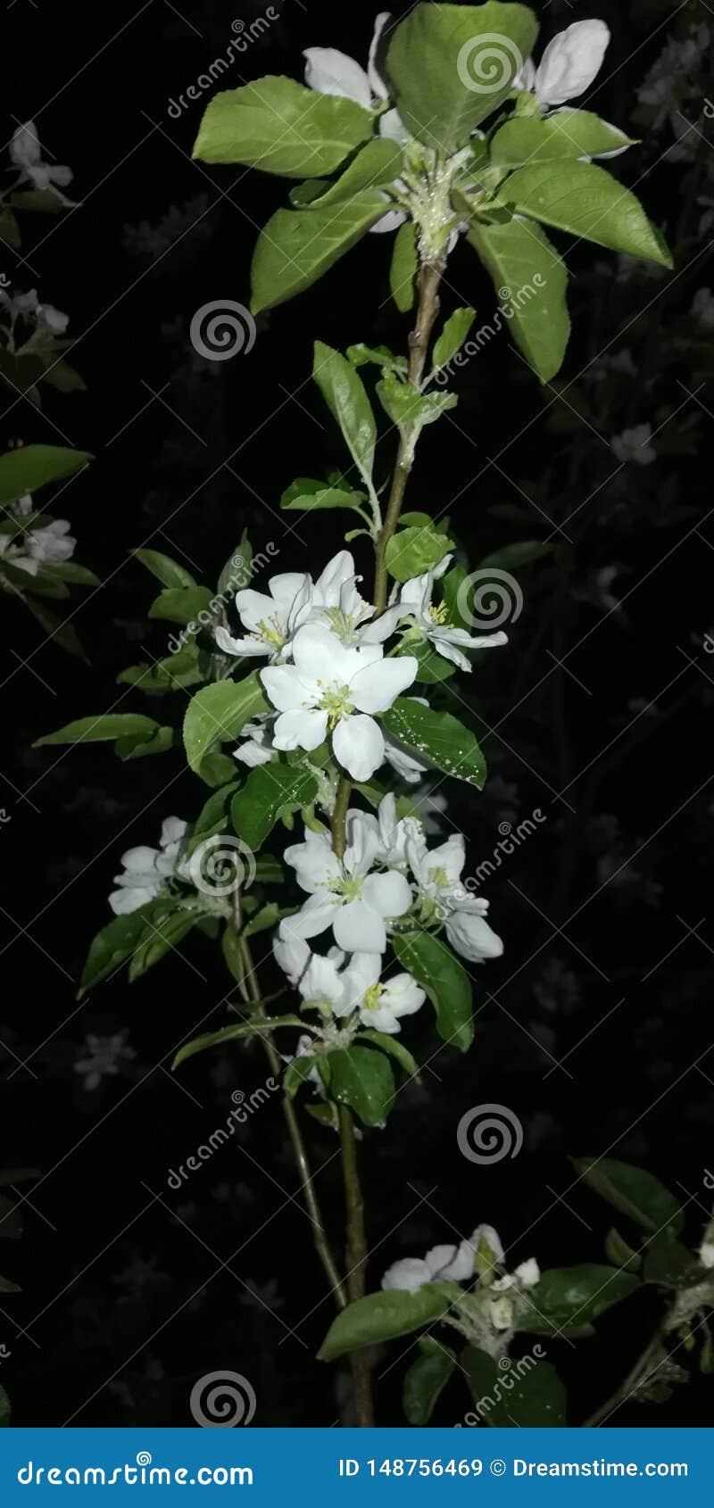 Blooming Apple tree at night