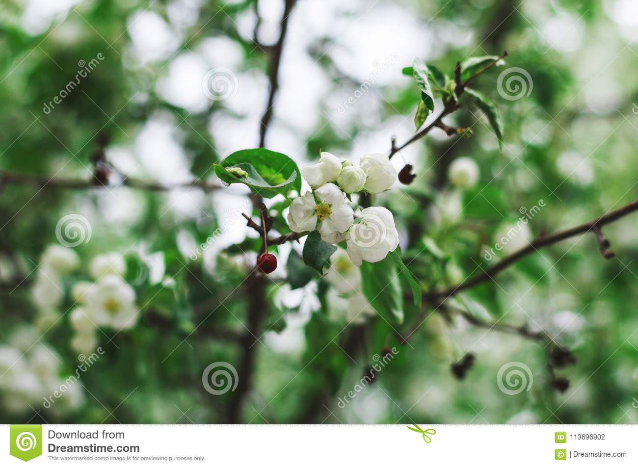Blooming apple tree in spring blossoming white flowers of apple blooming apple tree in spring blossoming white flowers of apple focus in the center of the composition on flowers and red berries mightylinksfo