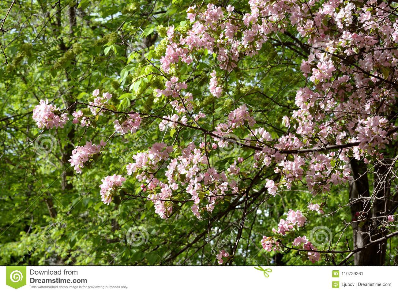 Blooming apple tree on sunny spring day. Beautiful spring pink blossom