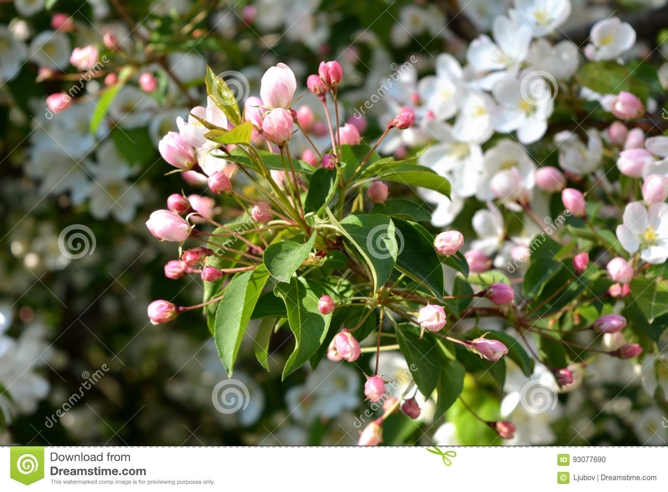 Blooming Apple Tree Unfolded Pink Buds And White Flowers Stock