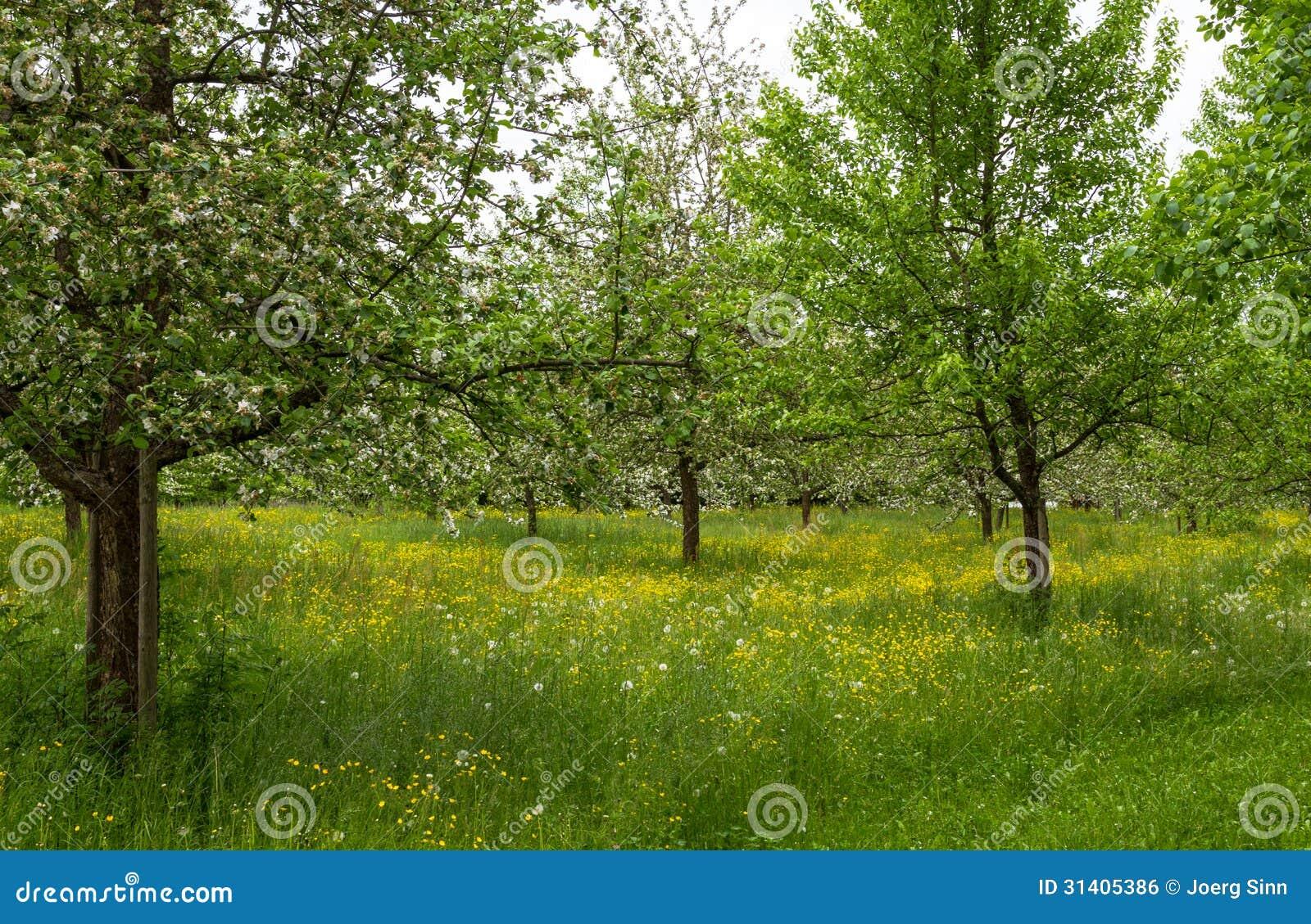Blooming apple trees spring