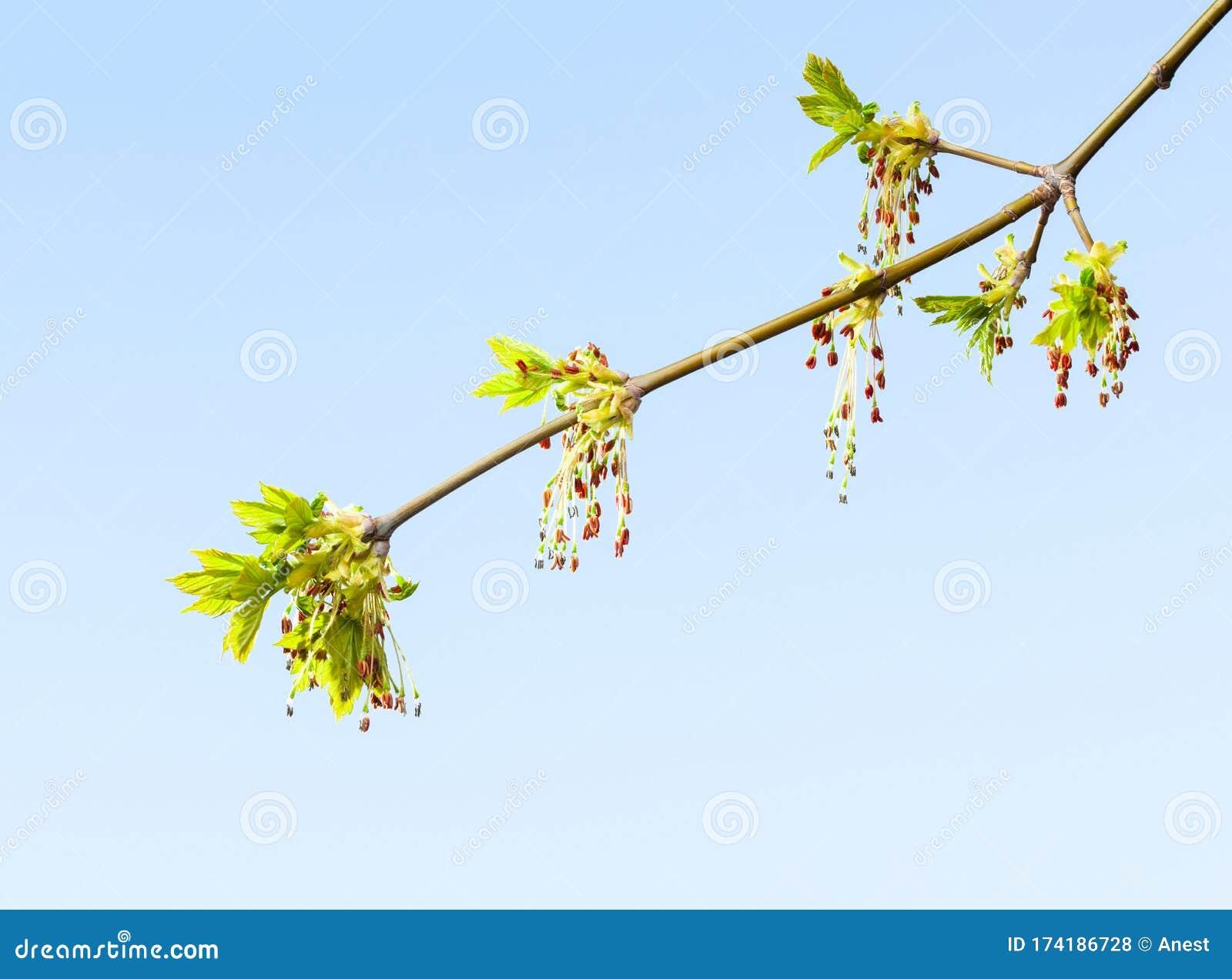 Boxelder Twig