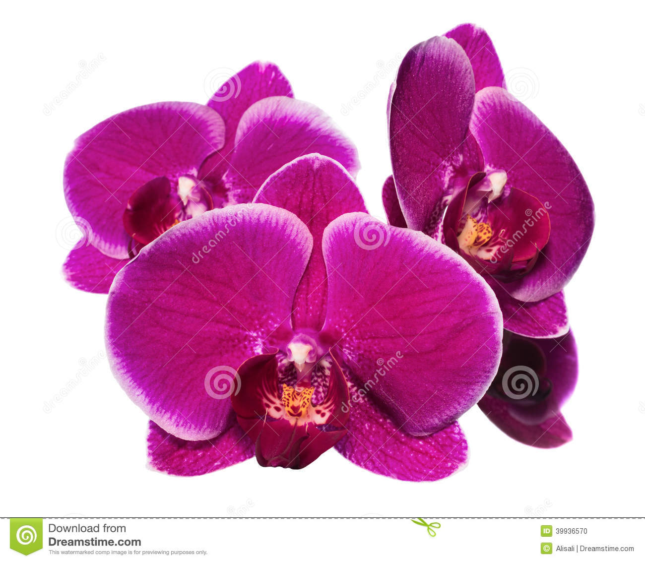 Blooming beautiful lilac orchid with bandlet is isolated